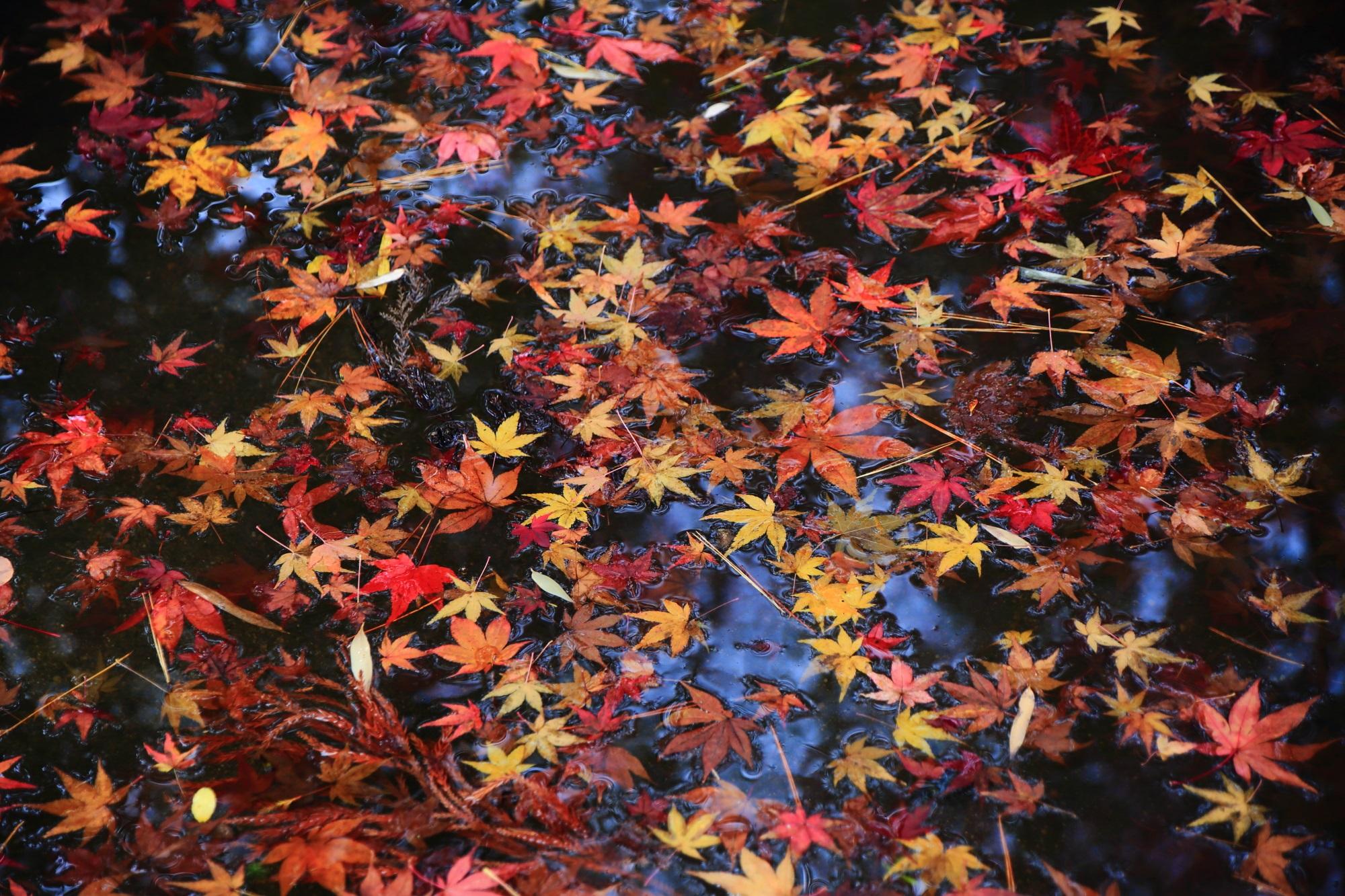天授庵の色とりどりに染まる秋の池の水面