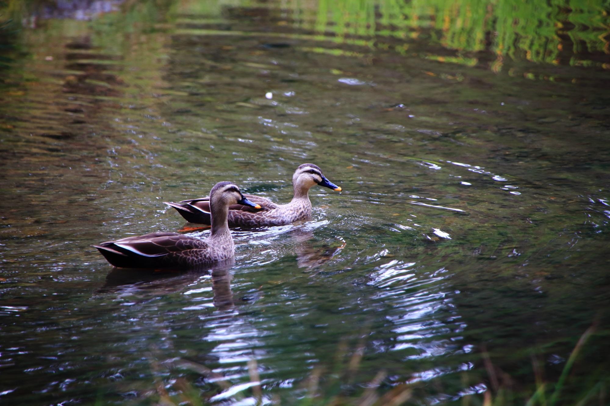 静かな水の庭園で優雅に泳ぐ鴨さん