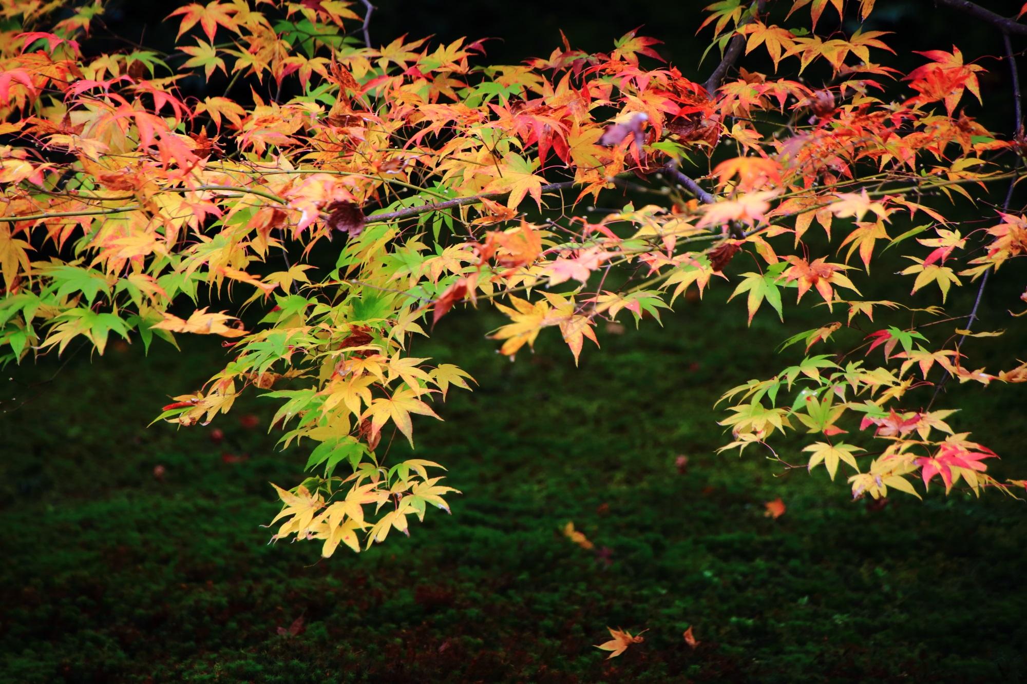 天授庵のこれ以上濃く鮮やかにはならずに散っていく紅葉