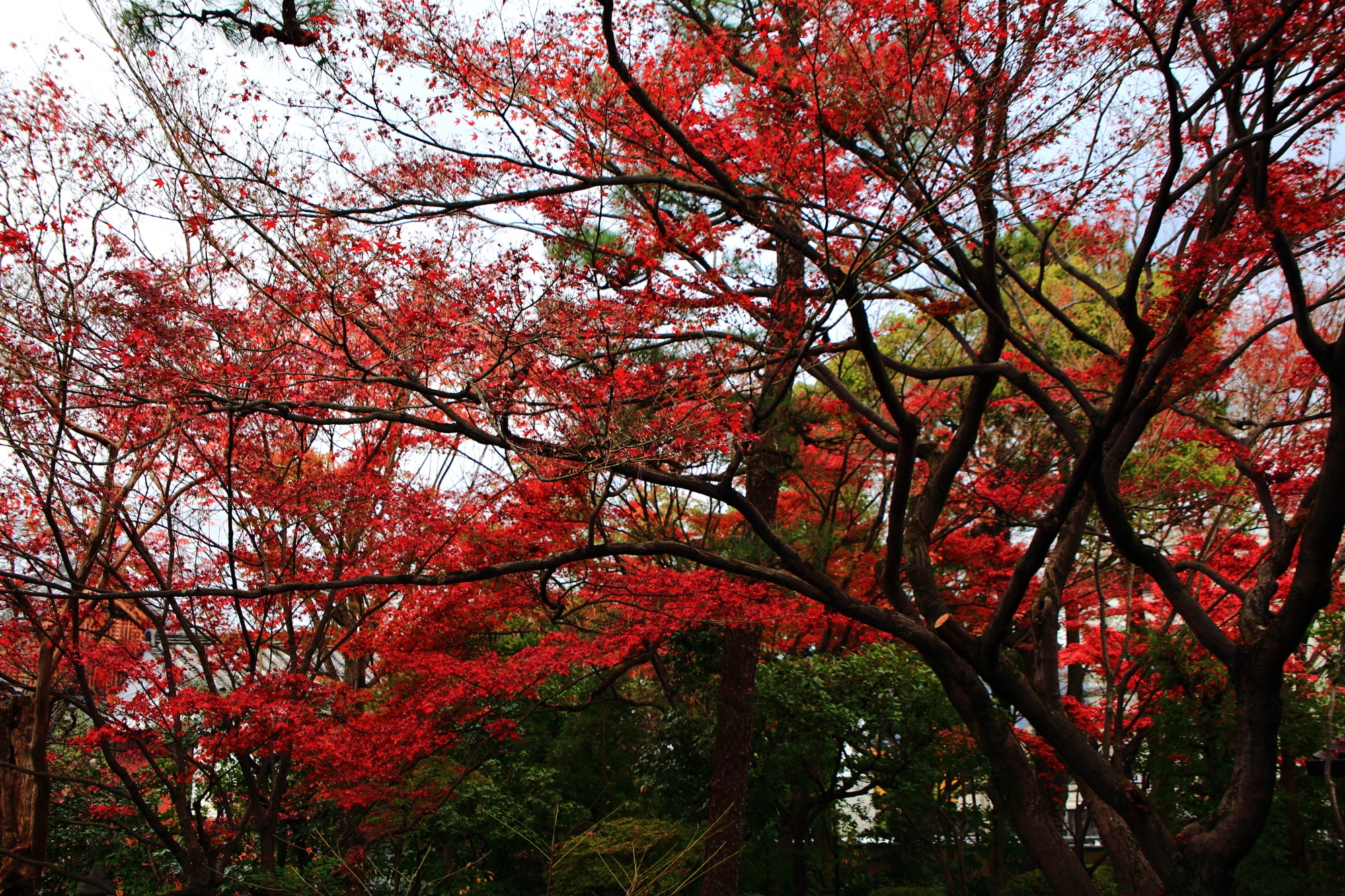 廬山寺の北庭の見ごろの紅葉