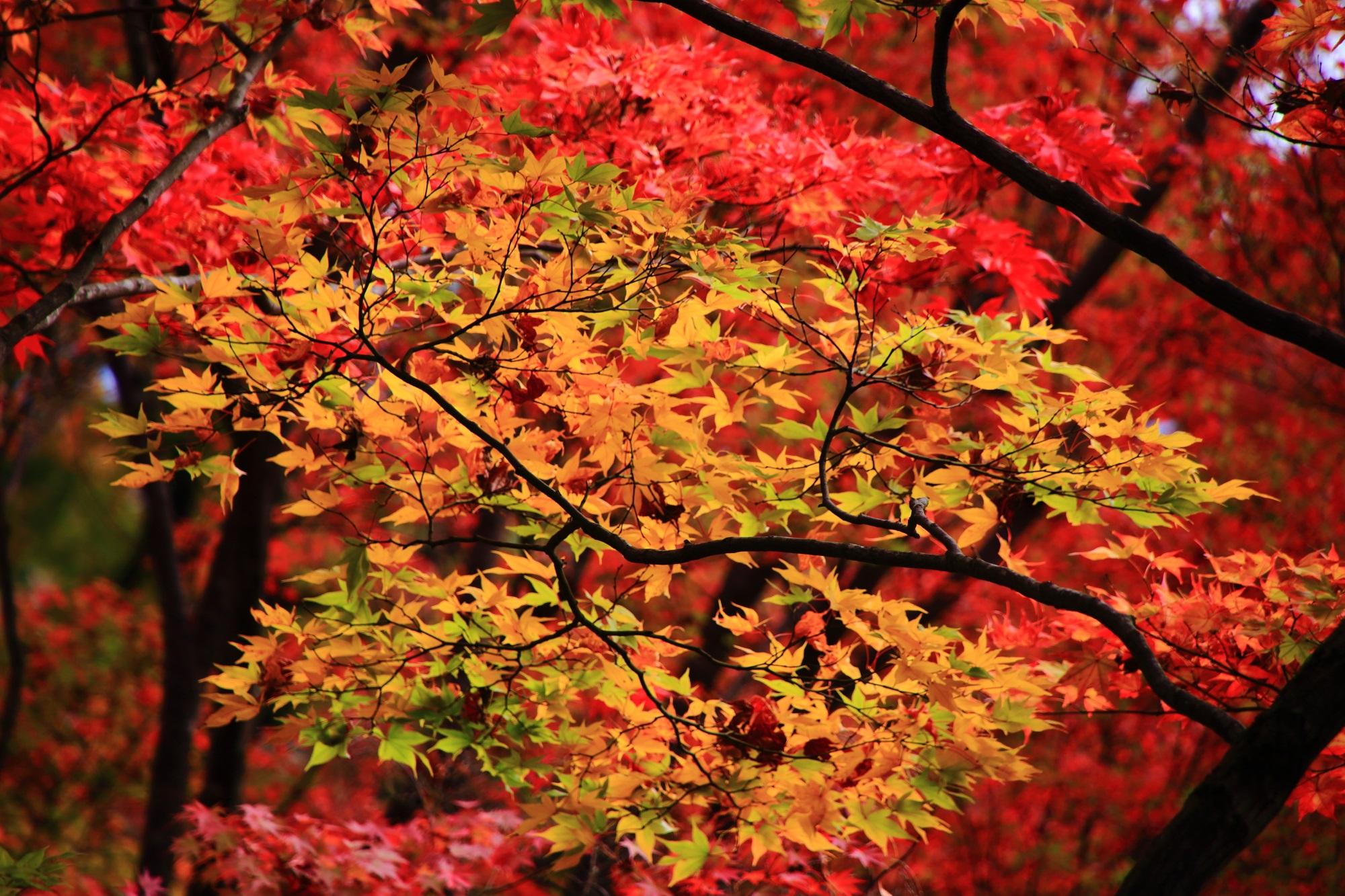 紅葉の名所の常寂光寺の美しい紅葉
