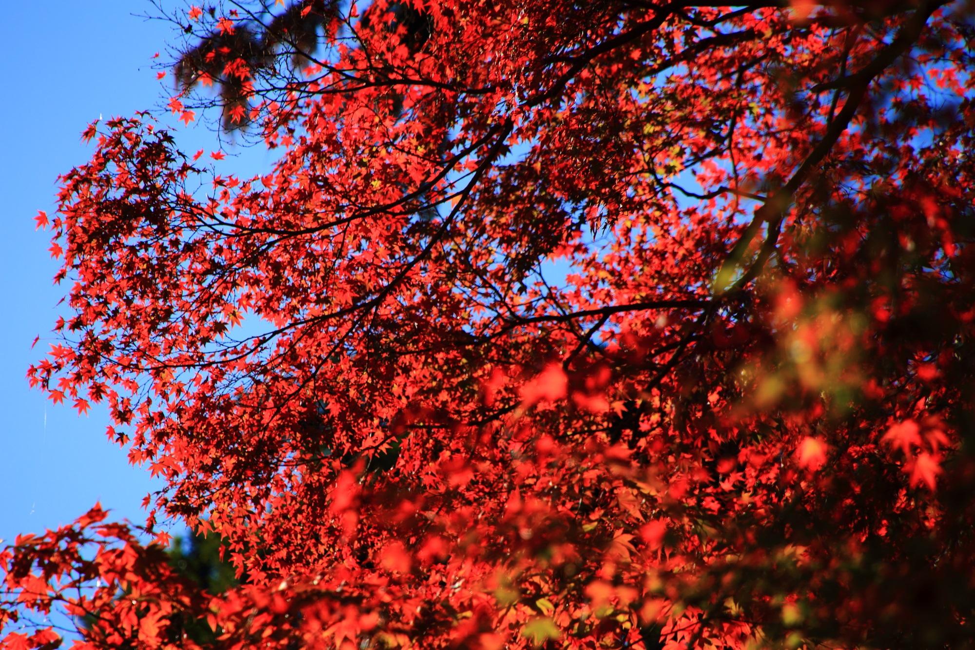 真っ赤な紅葉につつまれた奥嵯峨のもみじの名所の常寂光寺