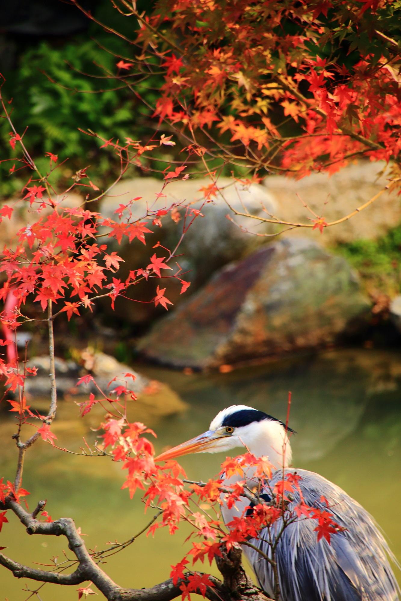 紅葉狩りを楽しむ智積院の名勝庭園の鷺