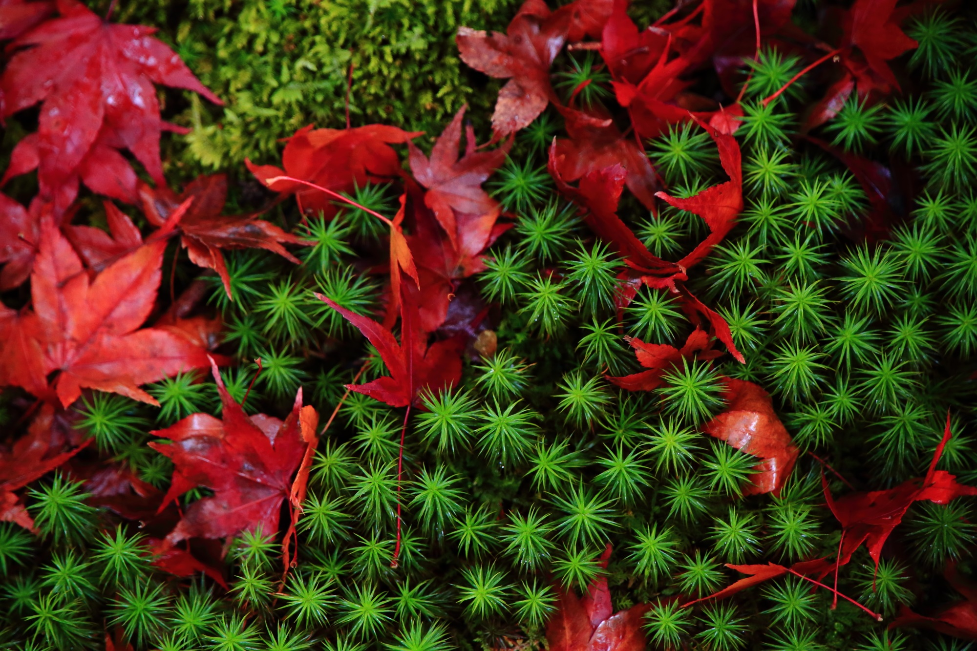 北嵯峨直指庵(じきしあん)の緑の鮮やかな苔と赤い散りもみじ