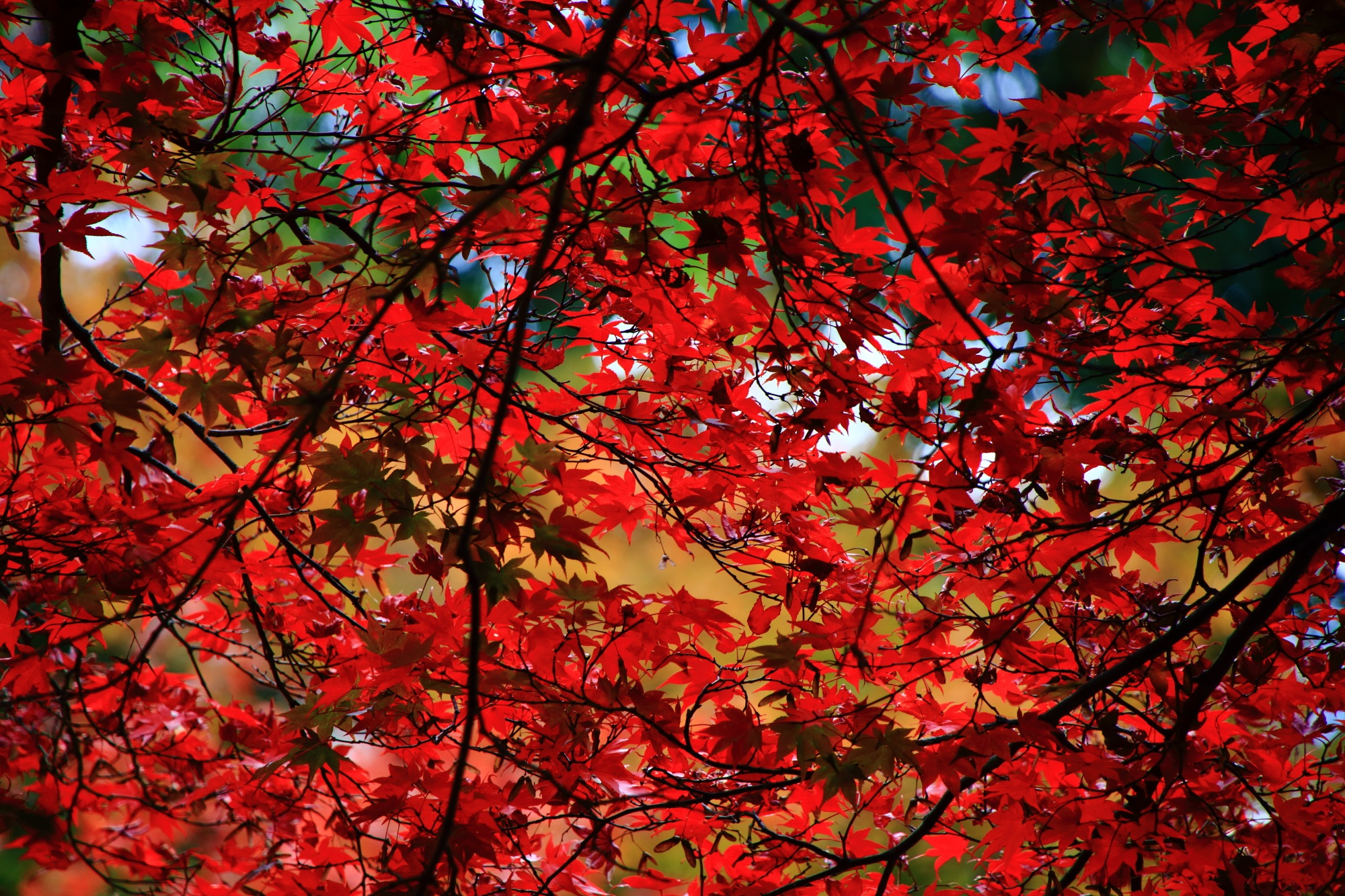 廬山寺の一面を覆う鮮やかな赤い紅葉