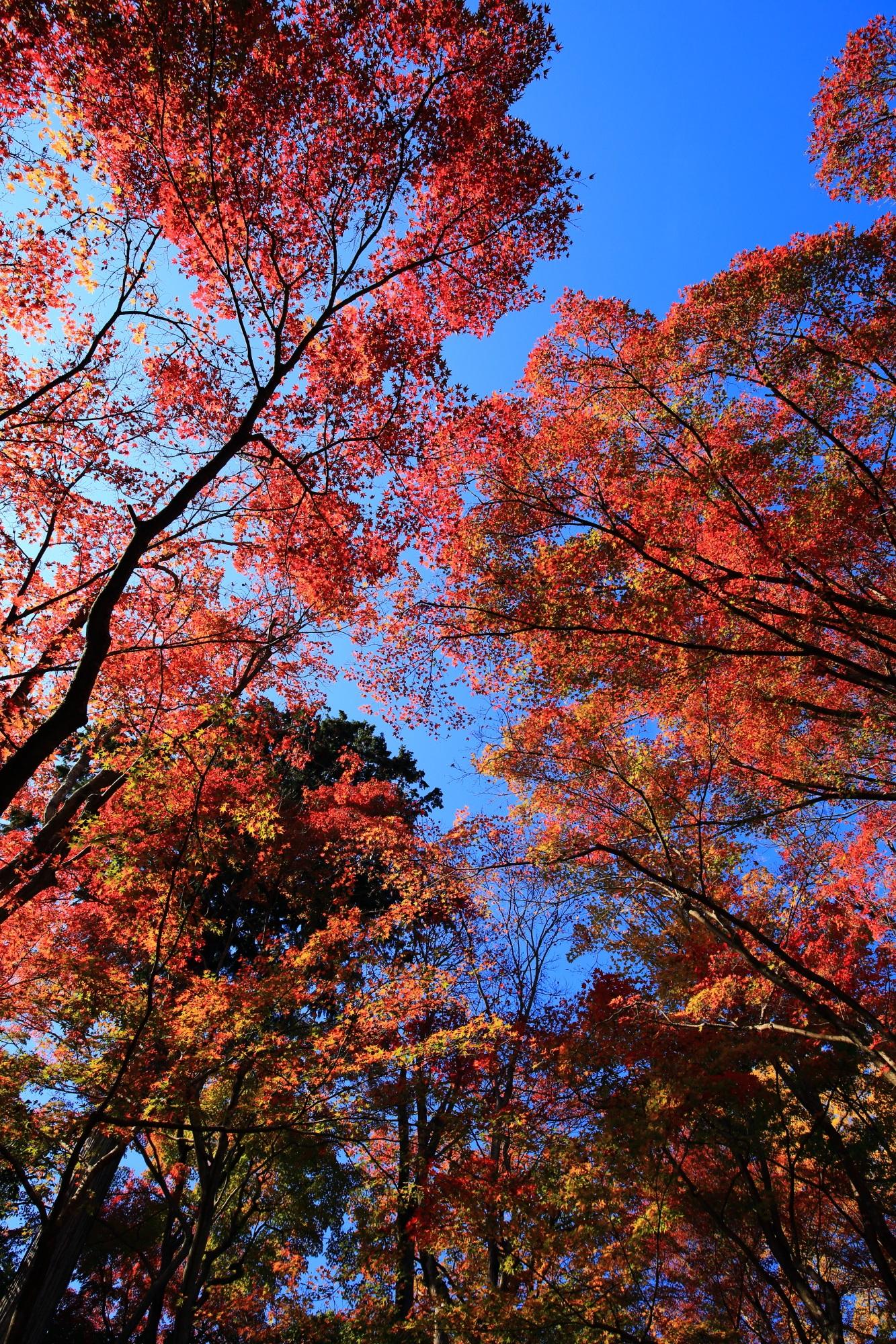 奥嵯峨の紅葉の名所の常寂光寺の見ごろの鮮やかな紅葉