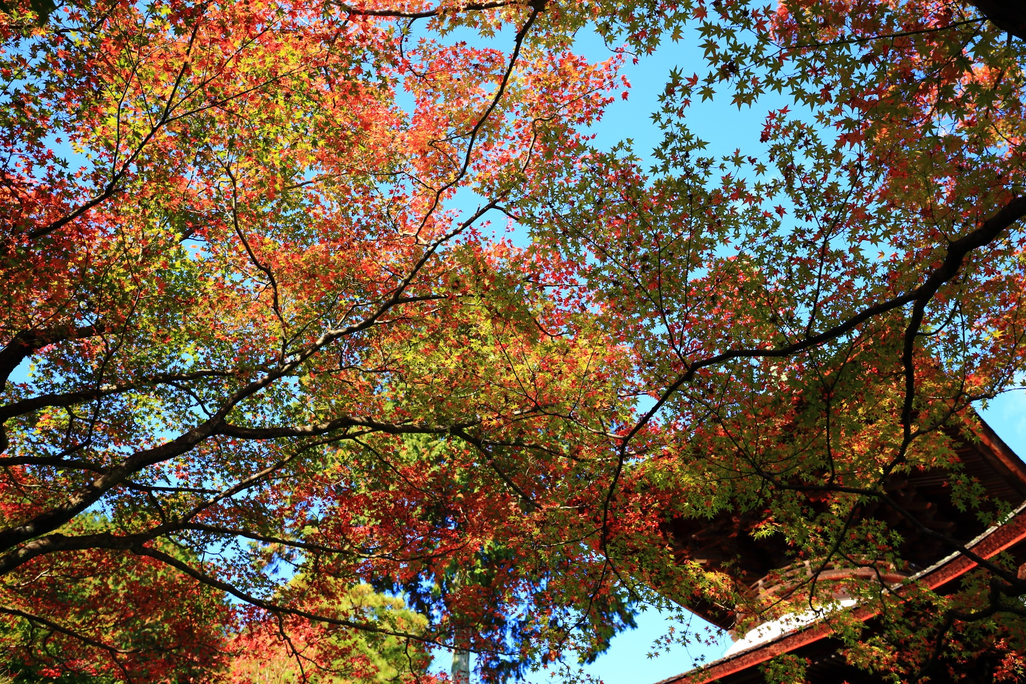 常寂光寺の多宝塔と見事な紅葉