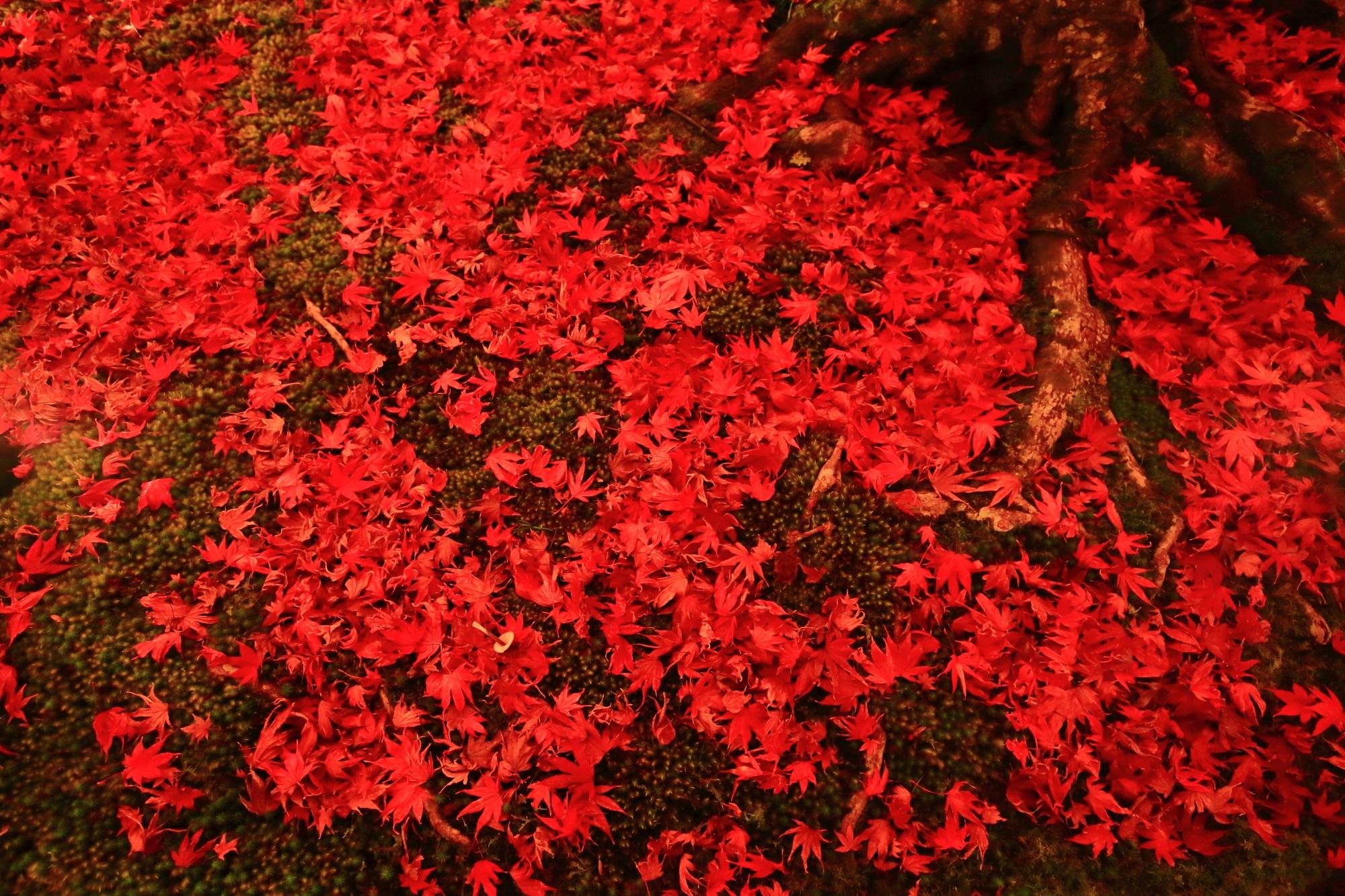 宝厳院の獅子吼の庭の鮮やかな赤い散りもみじのライトアップ