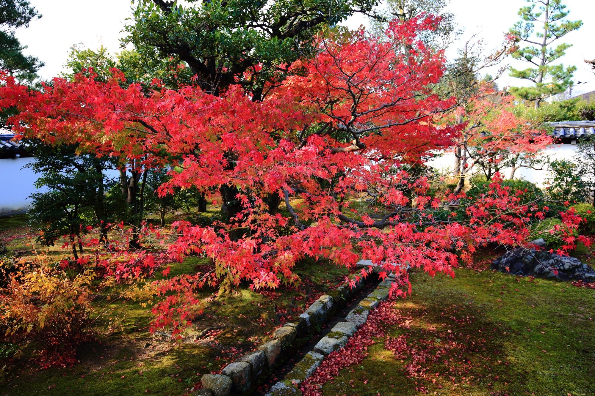 講堂庭園で華やぐ鮮やかな朱色の紅葉