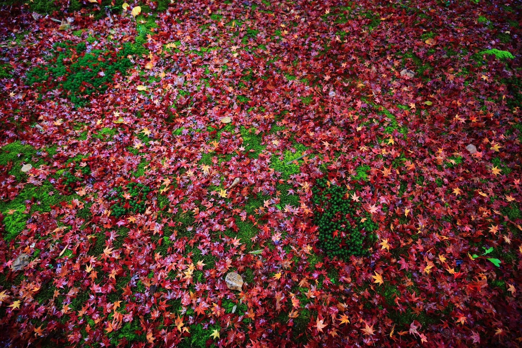 紅葉の穴場の直指庵(じきしあん)の美しい苔と散りもみじ