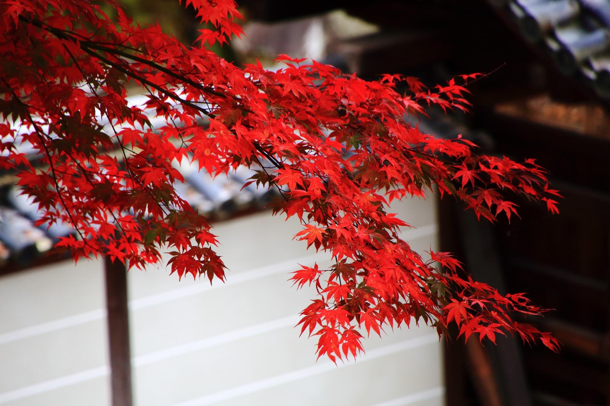 知恩院御廟の白壁に映える絶品の赤い紅葉