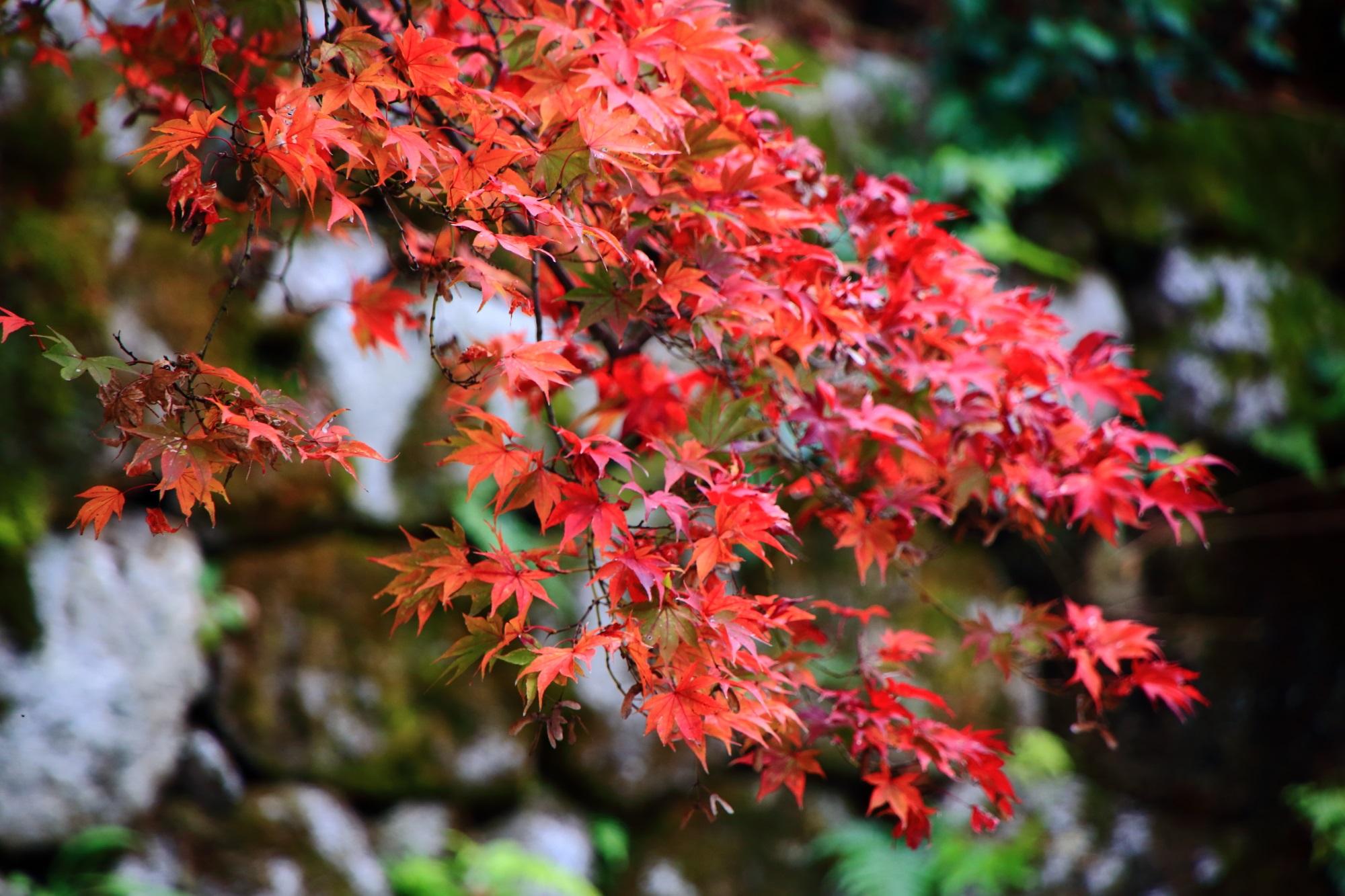 ほのかに光るような鮮やかな紅葉