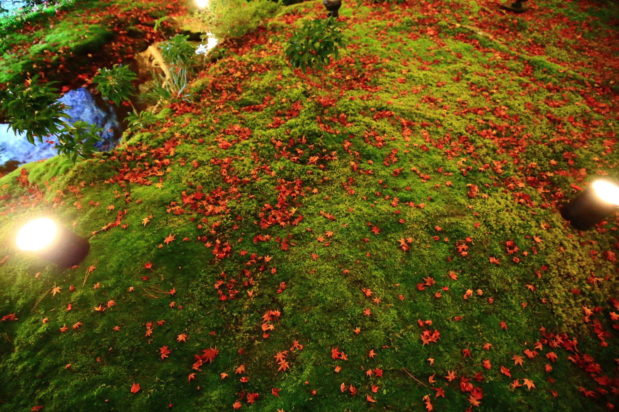 紅葉名所の宝厳院の獅子吼の庭のライトアップされた美しい緑の苔と赤い散りもみじ