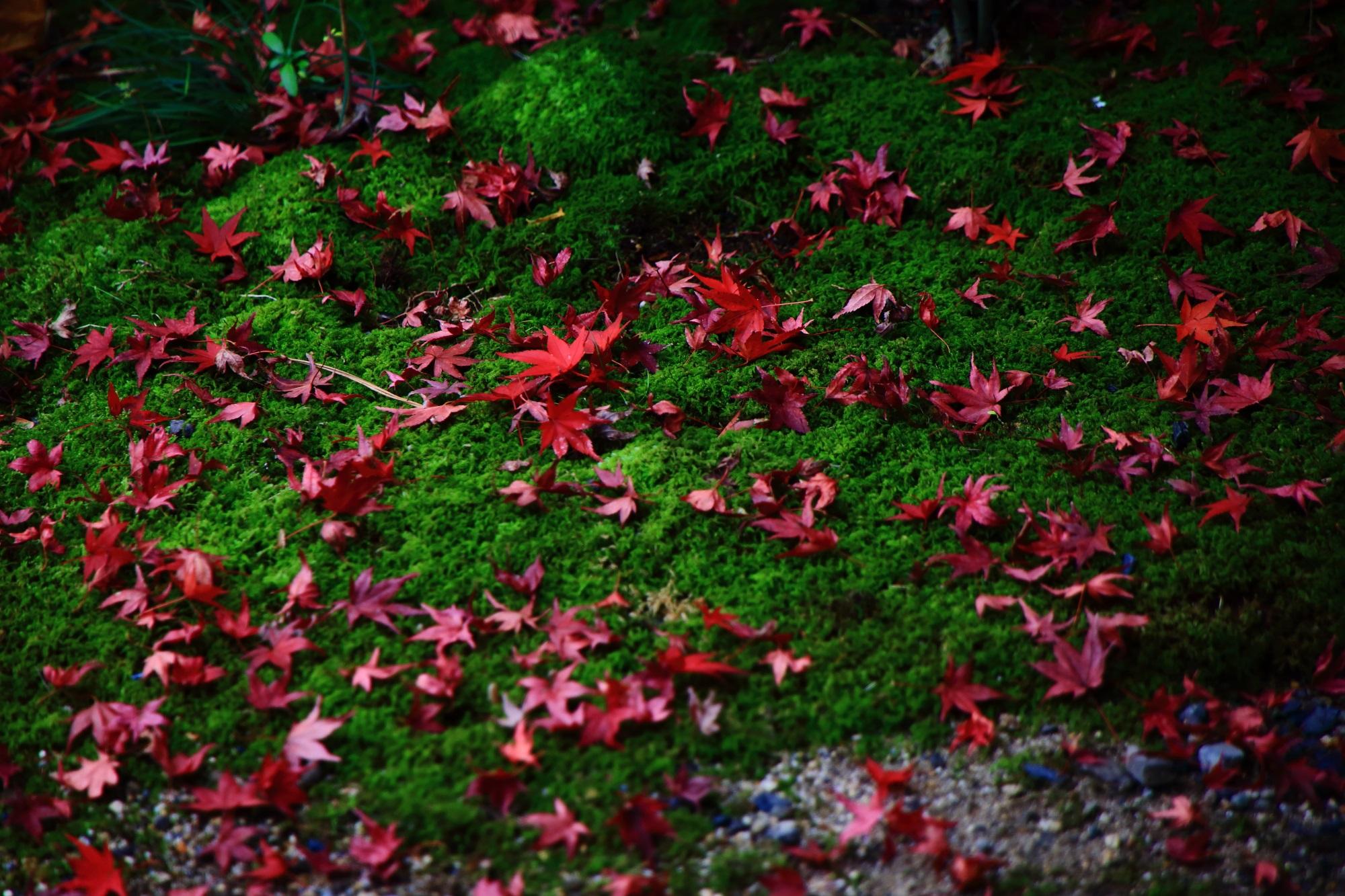 廬山寺の中庭の優美な散りもみじと緑の苔