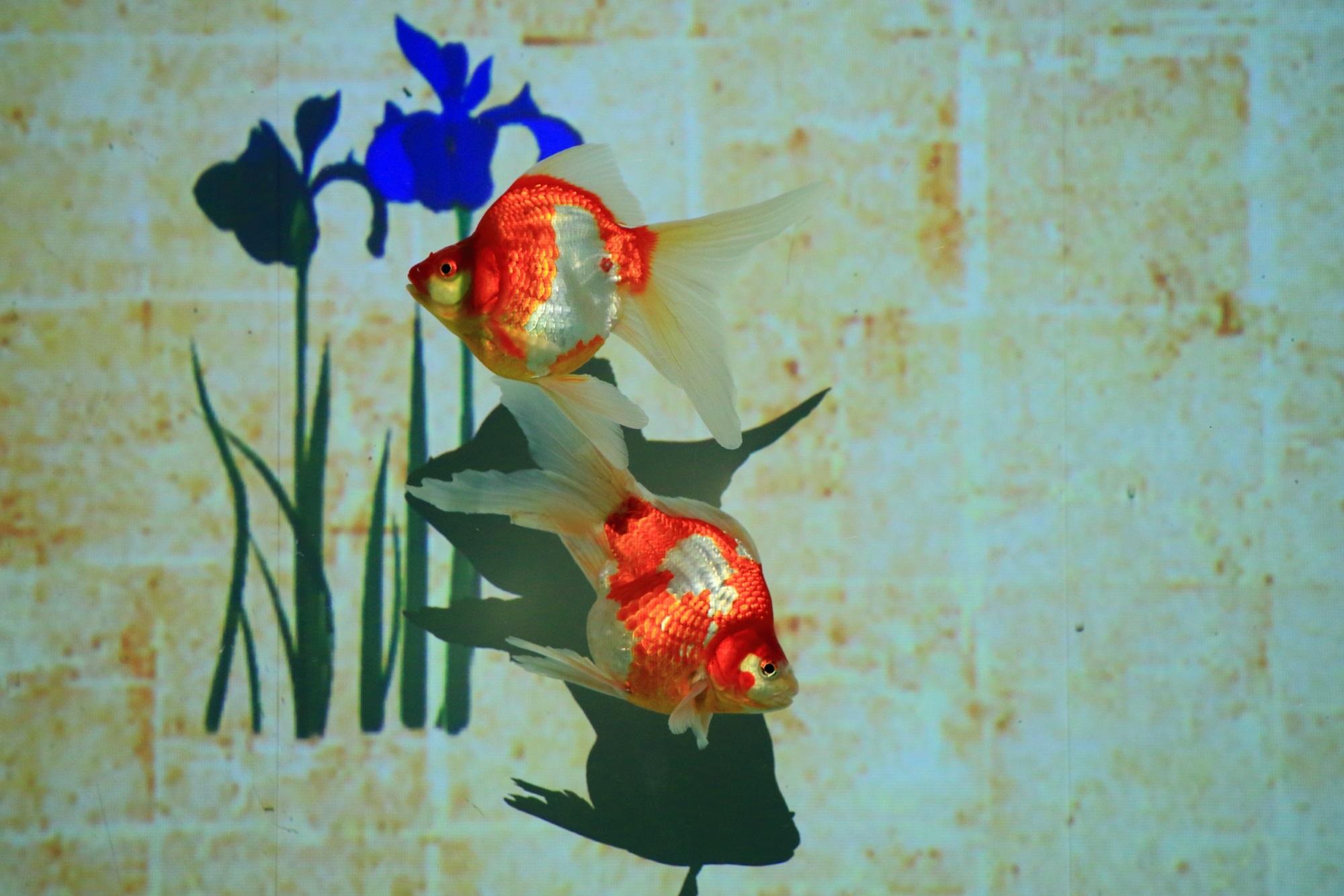 金魚 リンパリウム 二条城 アートアクアリウム城
