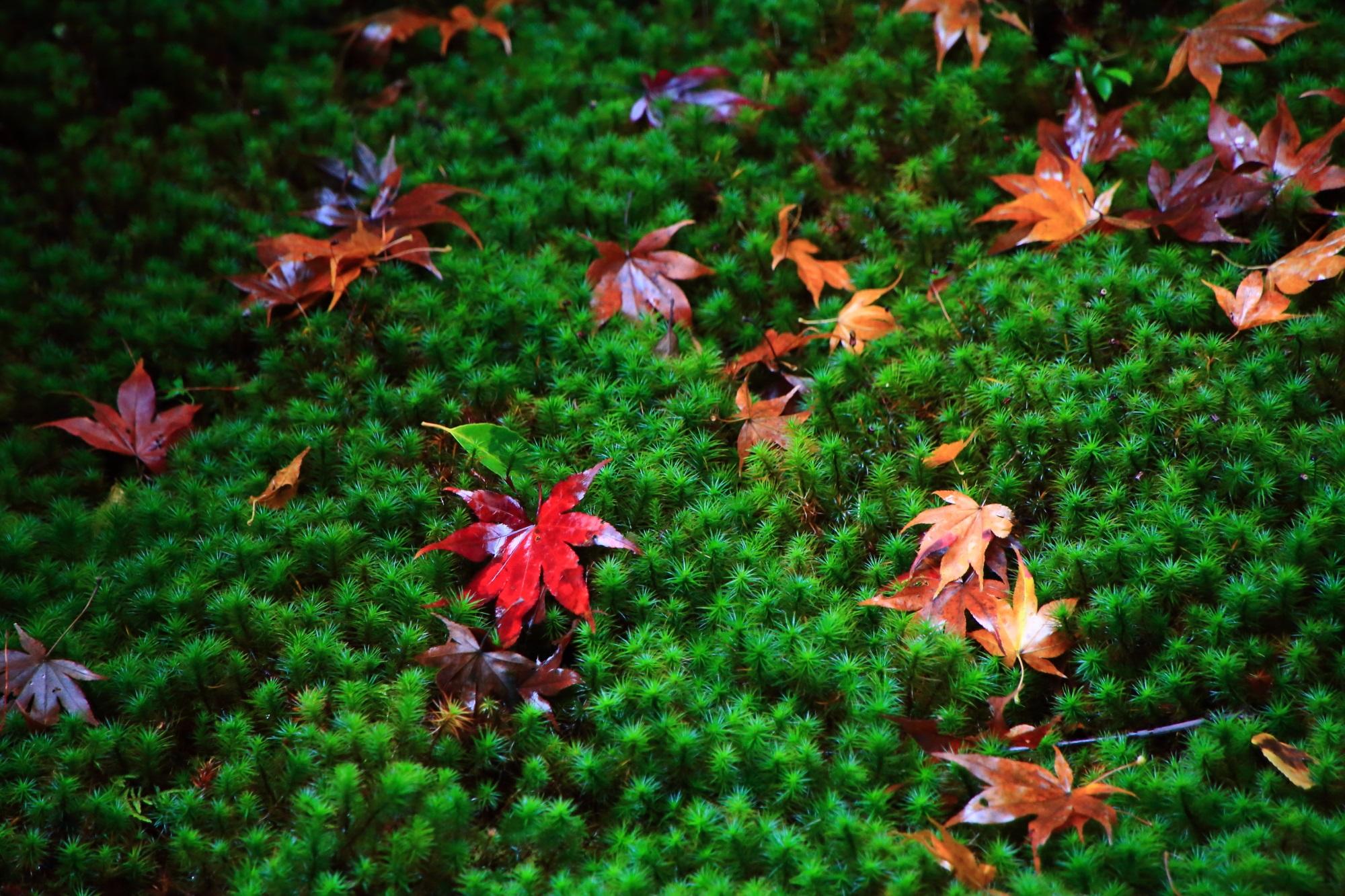 嵯峨じきしあんの本堂中庭の鮮やかな苔と散りもみじ