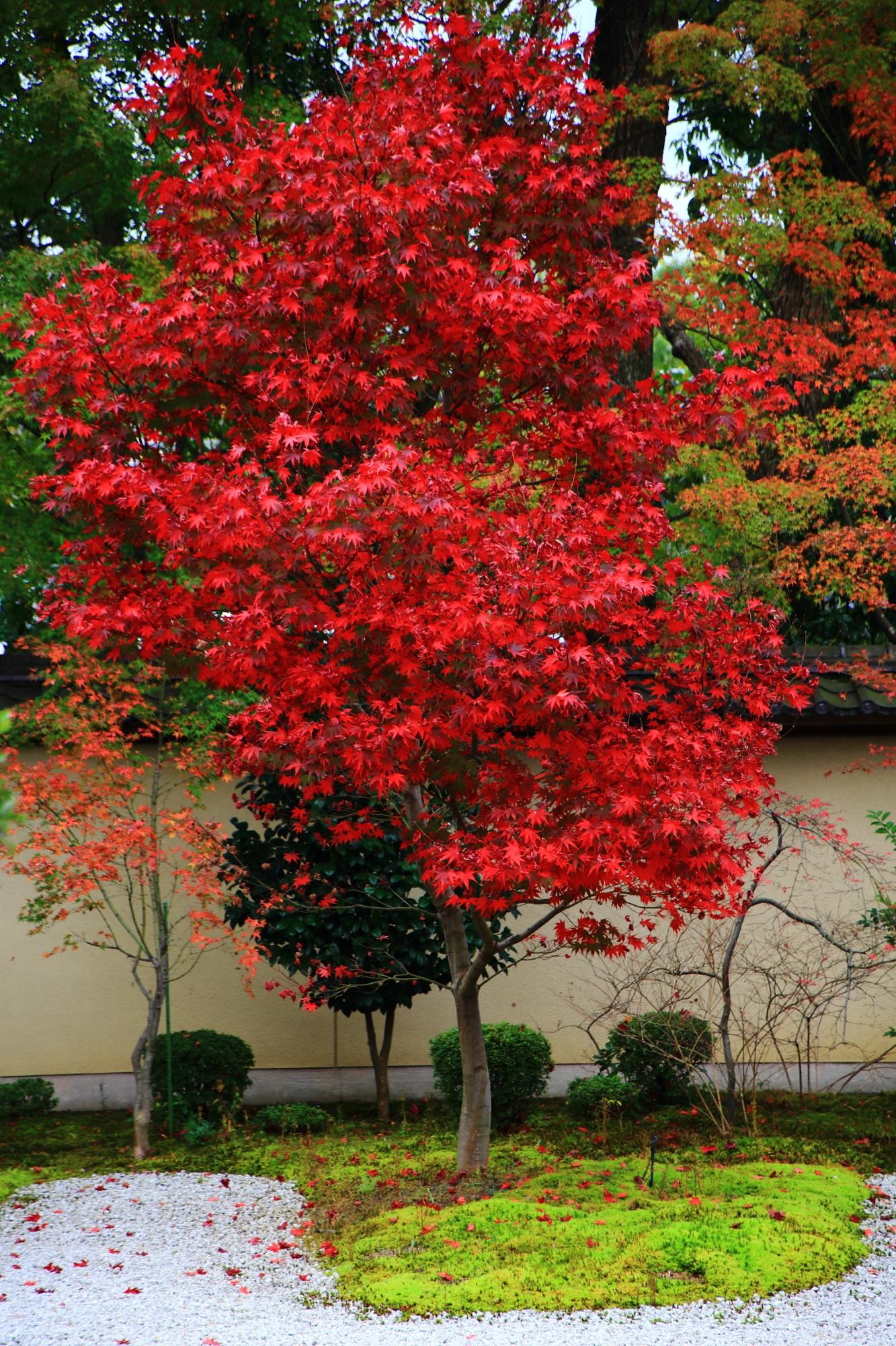 真っ赤に鮮やかに紅葉した廬山寺の紅葉の木
