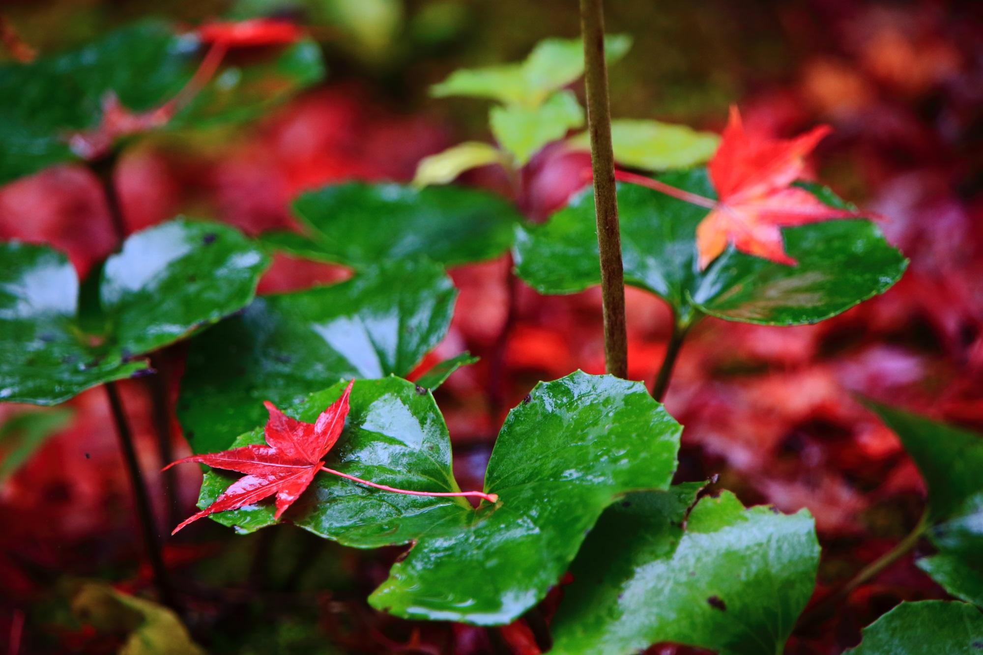 北嵯峨の直指庵の雨で輝く葵と散りもみじ