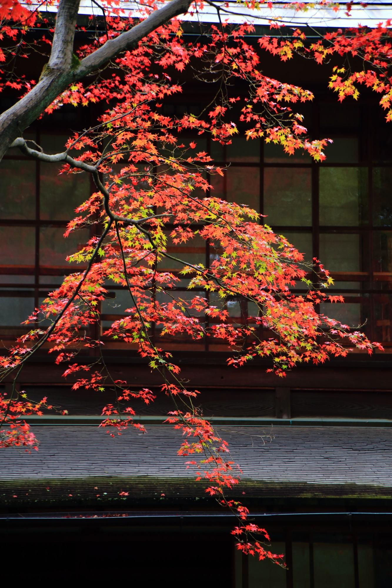 秋風に揺らめく赤や黄緑のグラデーションもみじ