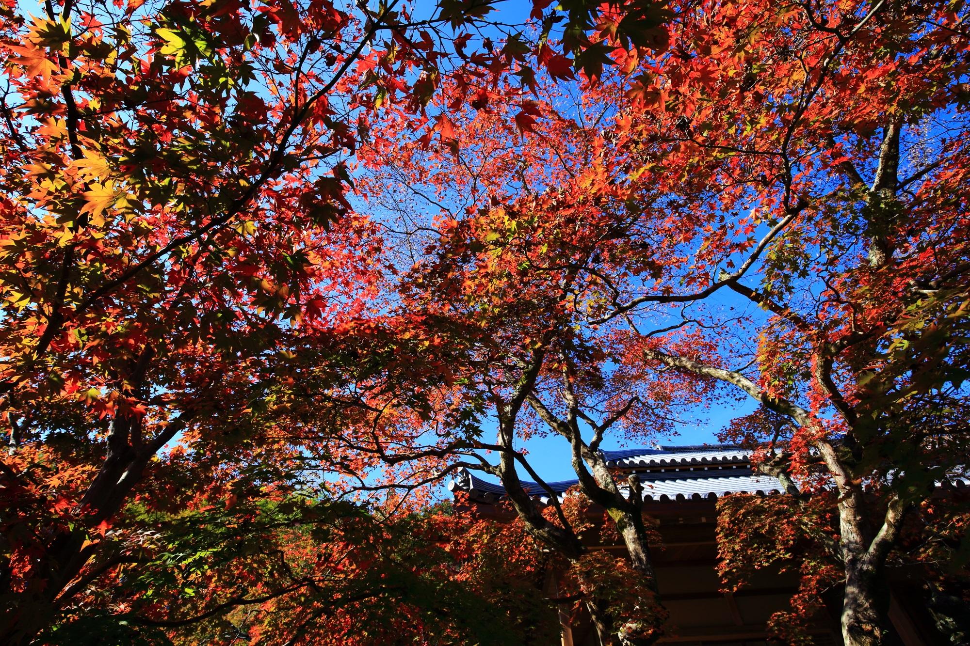 じょうじゃっこうじの本堂と見ごろの鮮やかな紅葉
