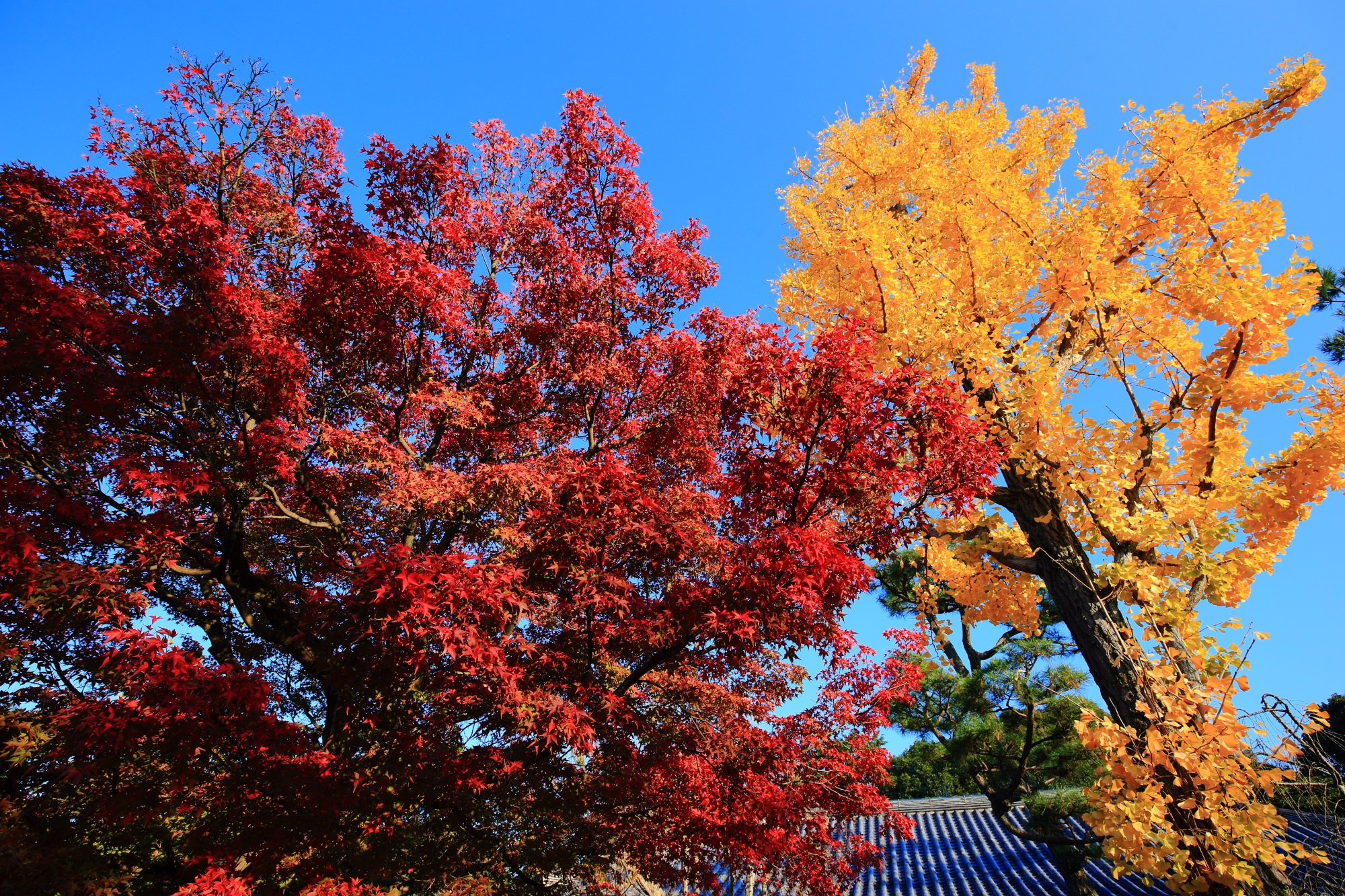 智積院の紅葉と太陽を浴びて黄色く輝く銀杏