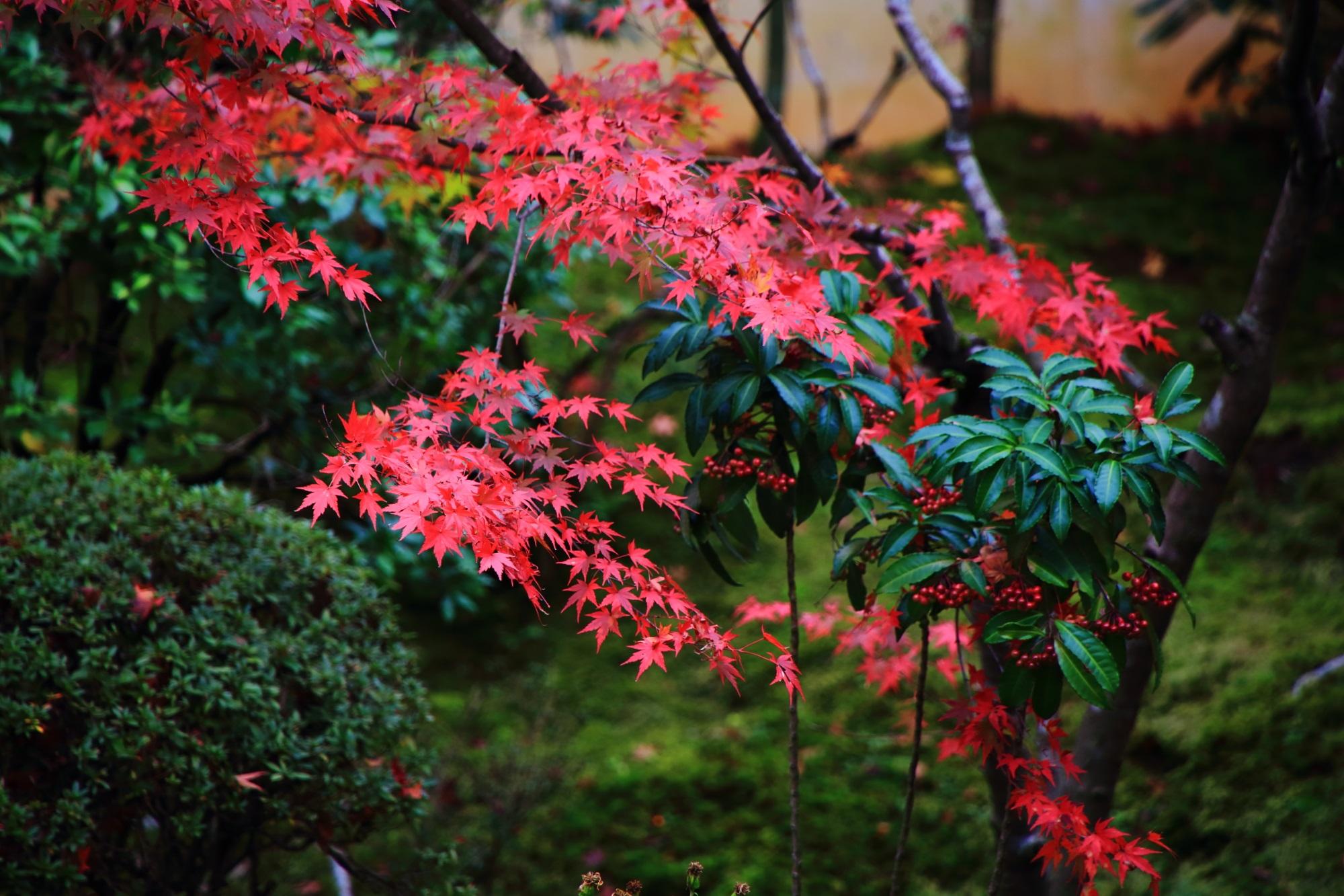 万両の赤い実とともに緑を染める艶やかな紅葉