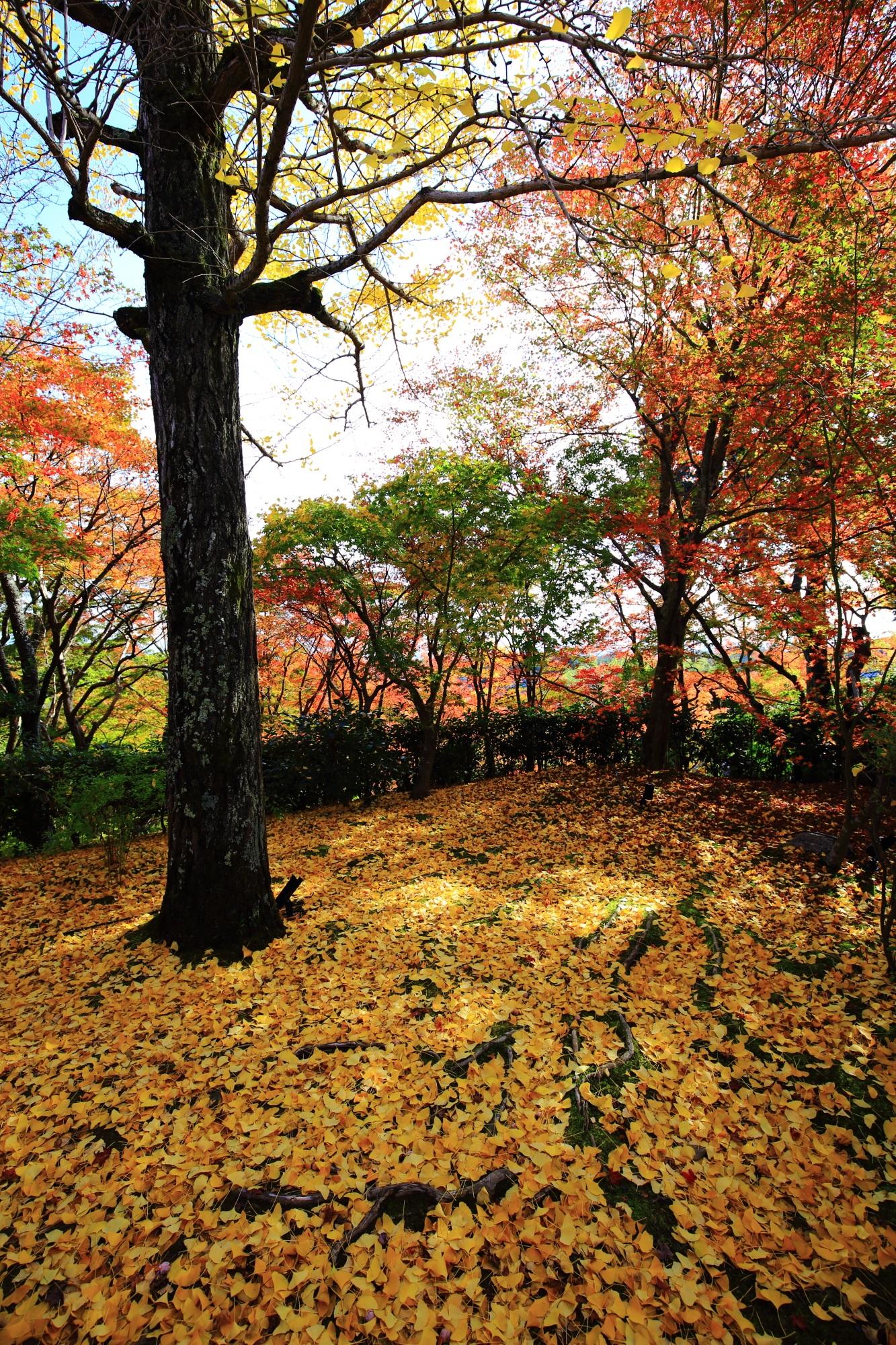常寂光寺の紅葉と美しい散り銀杏