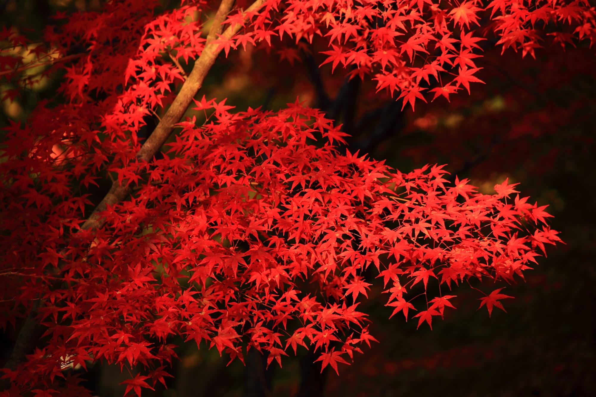 秋を彩る艶やかな紅葉