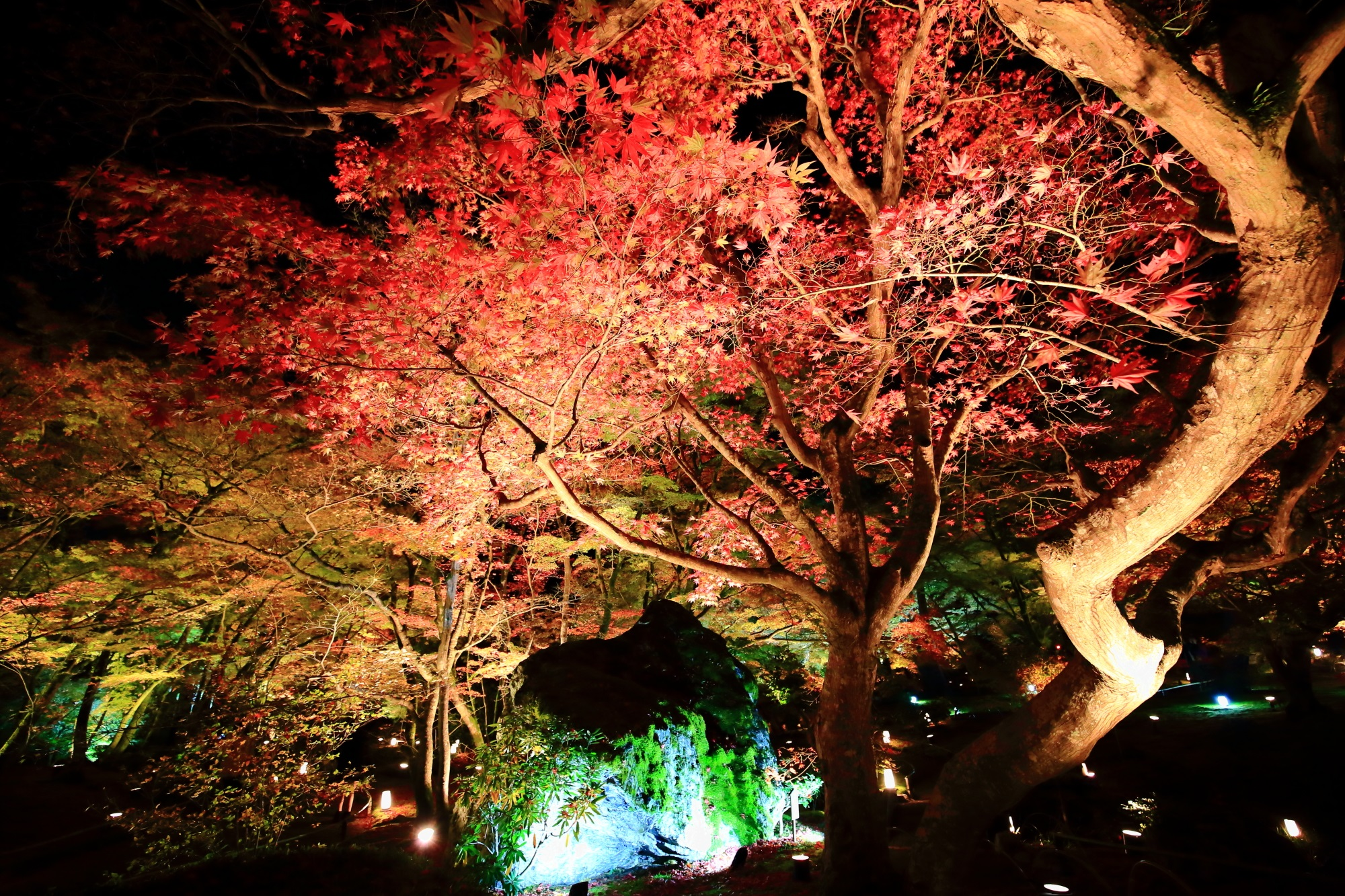 もみじの名所の嵐山宝厳院の獅子庭と鮮やかな紅葉のライトアップ