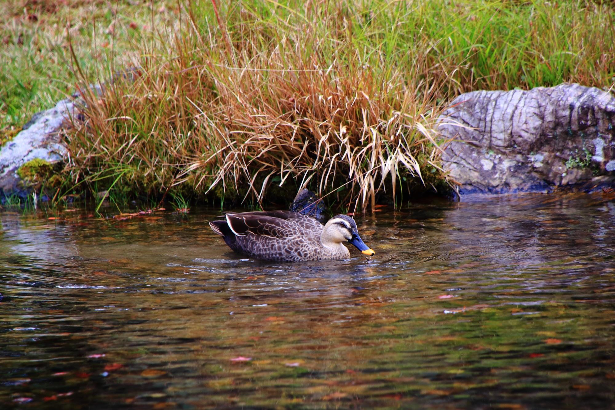 鴨さんが長閑に泳ぐ無鄰菴の庭園