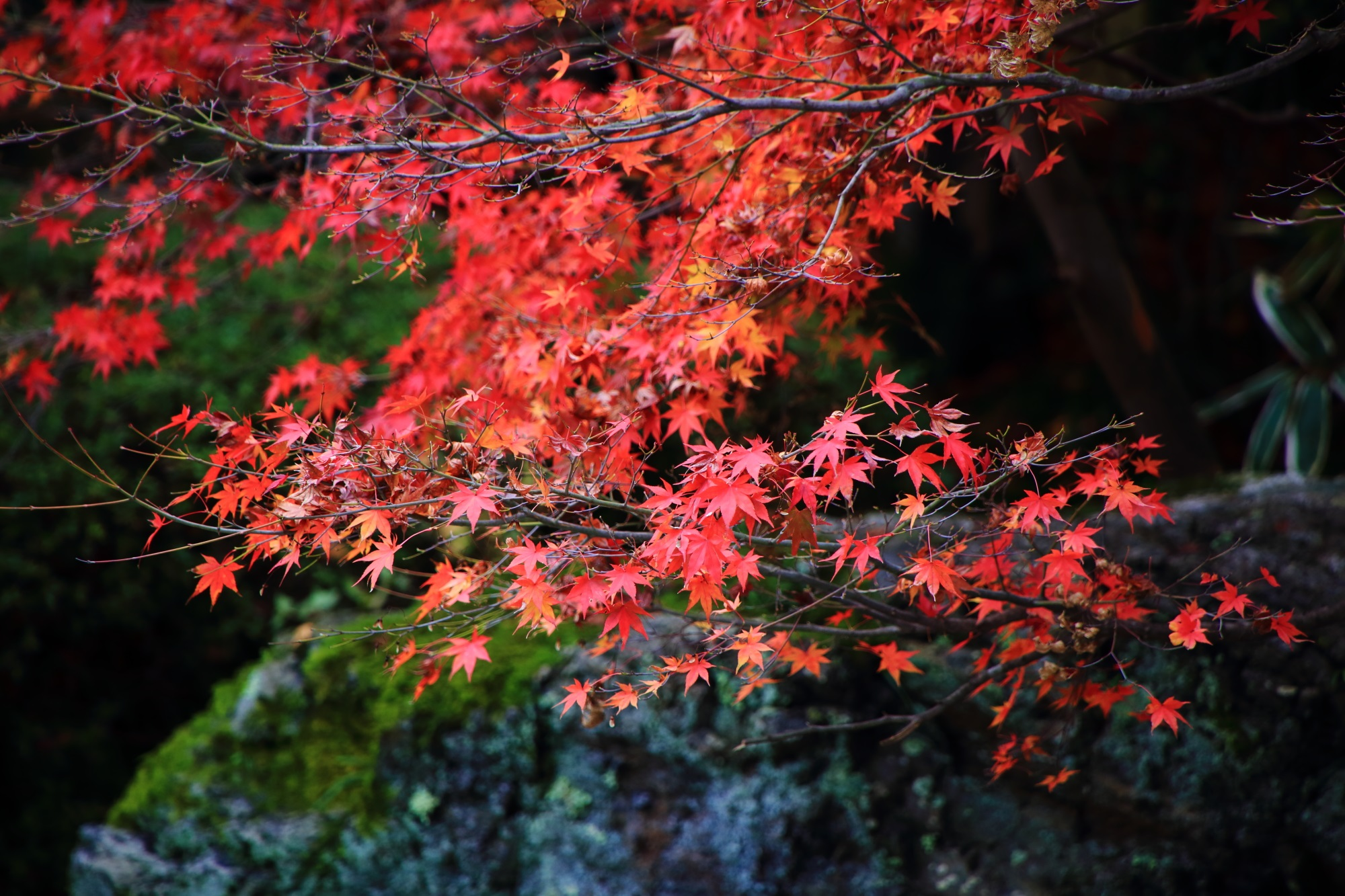 天授庵の苔や岩を彩る華やかな赤い紅葉