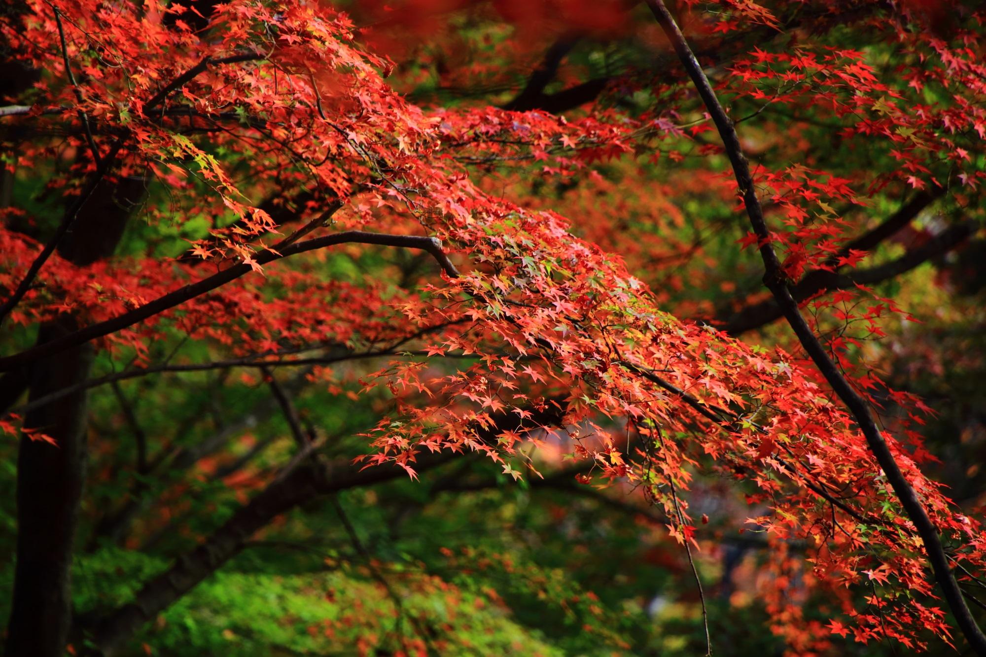 京都のもみじの名所の常寂光寺の優雅な紅葉