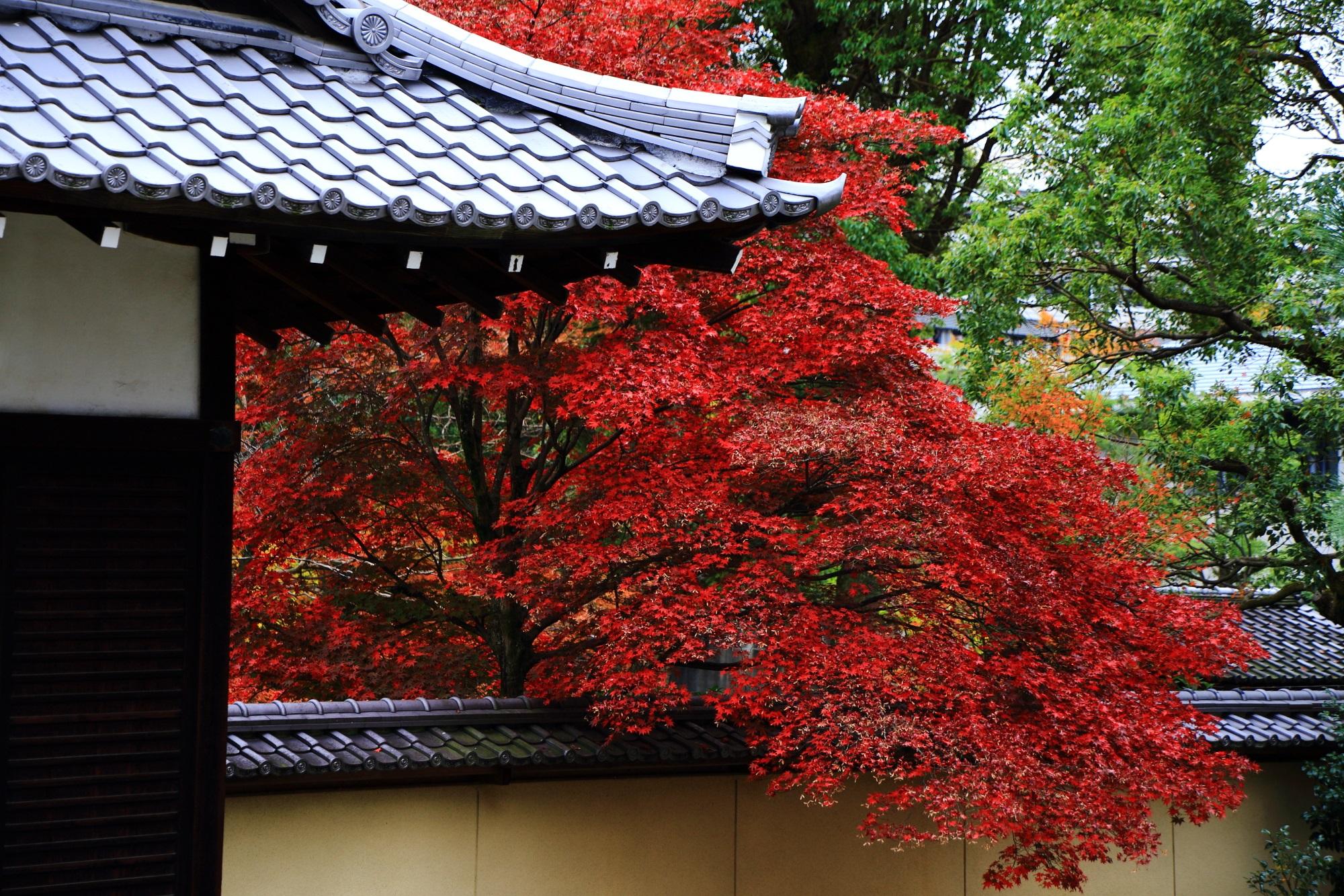 源氏庭の塀の外からせり出している真っ赤な紅葉