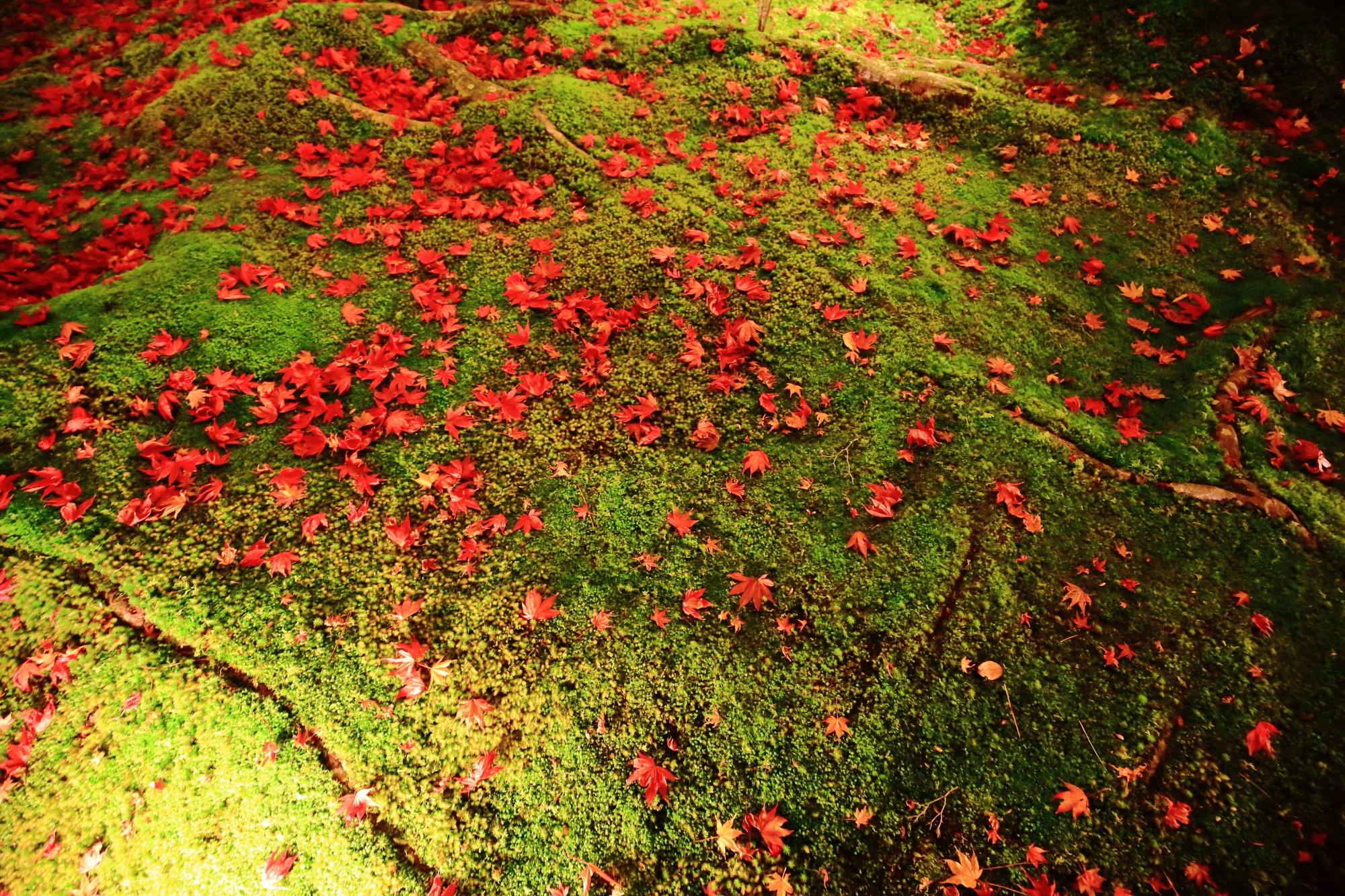 嵐山宝厳院の獅子吼の庭の苔と鮮やかな散りもみじのライトアップ