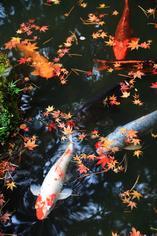 華やかな散りもみじと戯れるたくさんの鯉さんたち