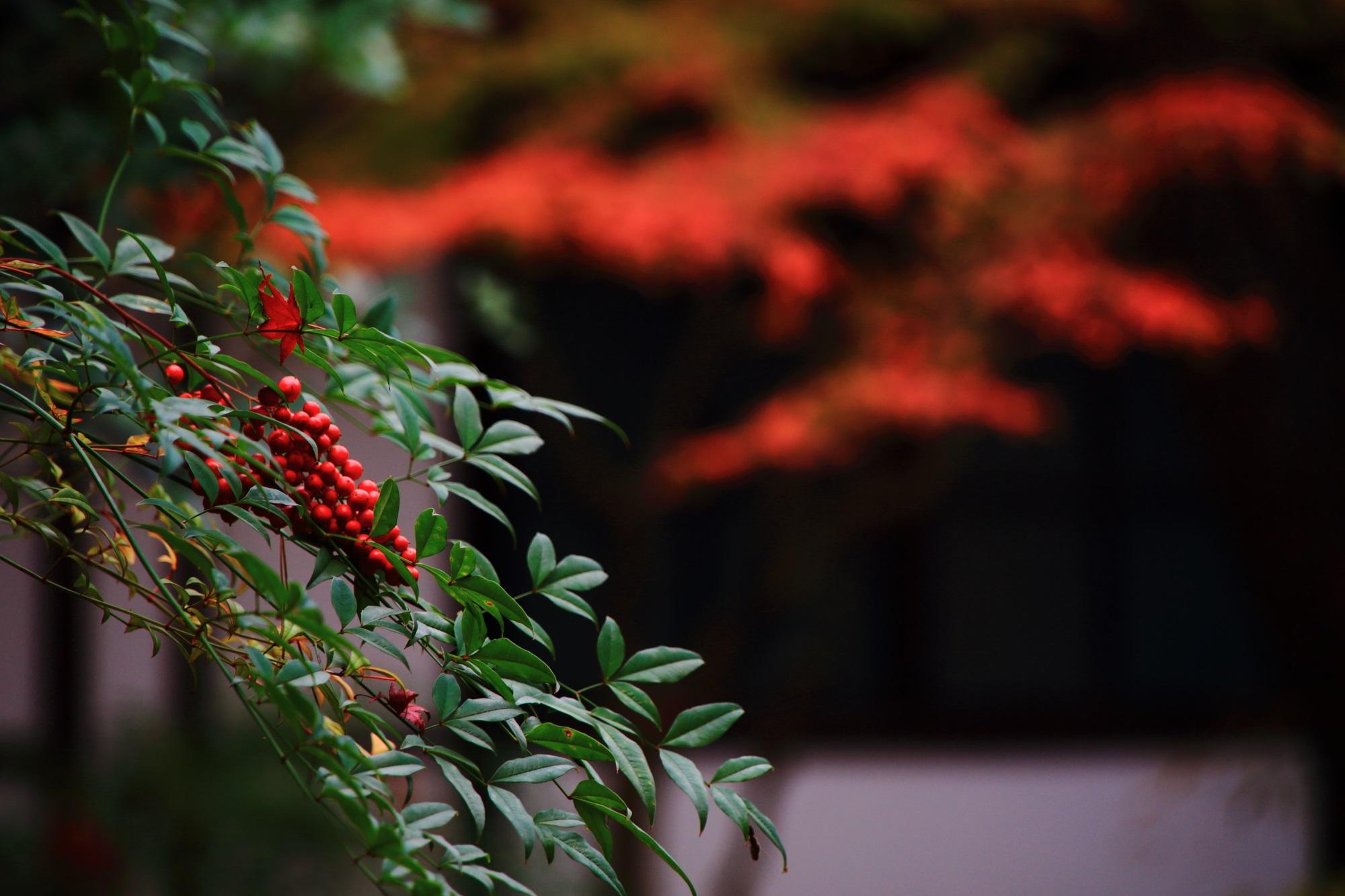 廬山寺の中庭の南天の赤い実と紅葉