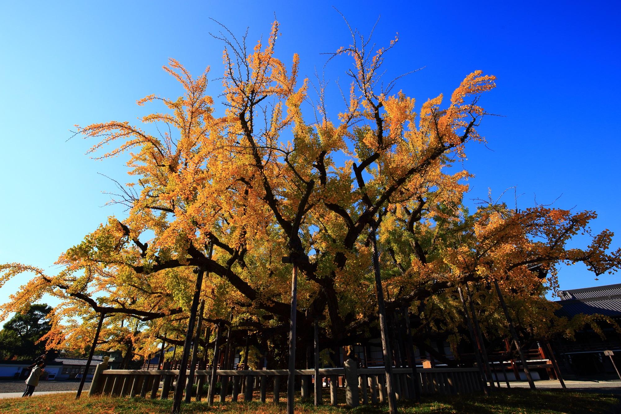 銀杏の名所の西本願寺の御影堂前の黄金の大イチョウ(逆さ銀杏)