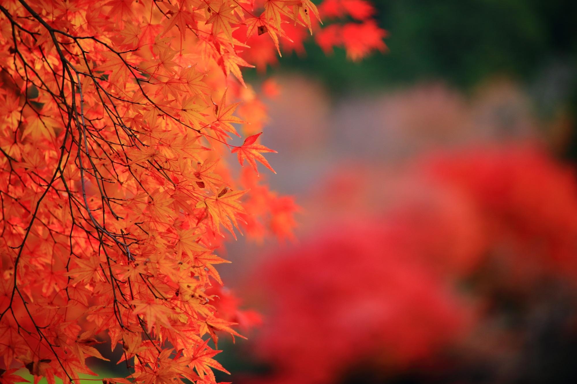 京都の紅葉の名所の龍安寺の優美な紅葉