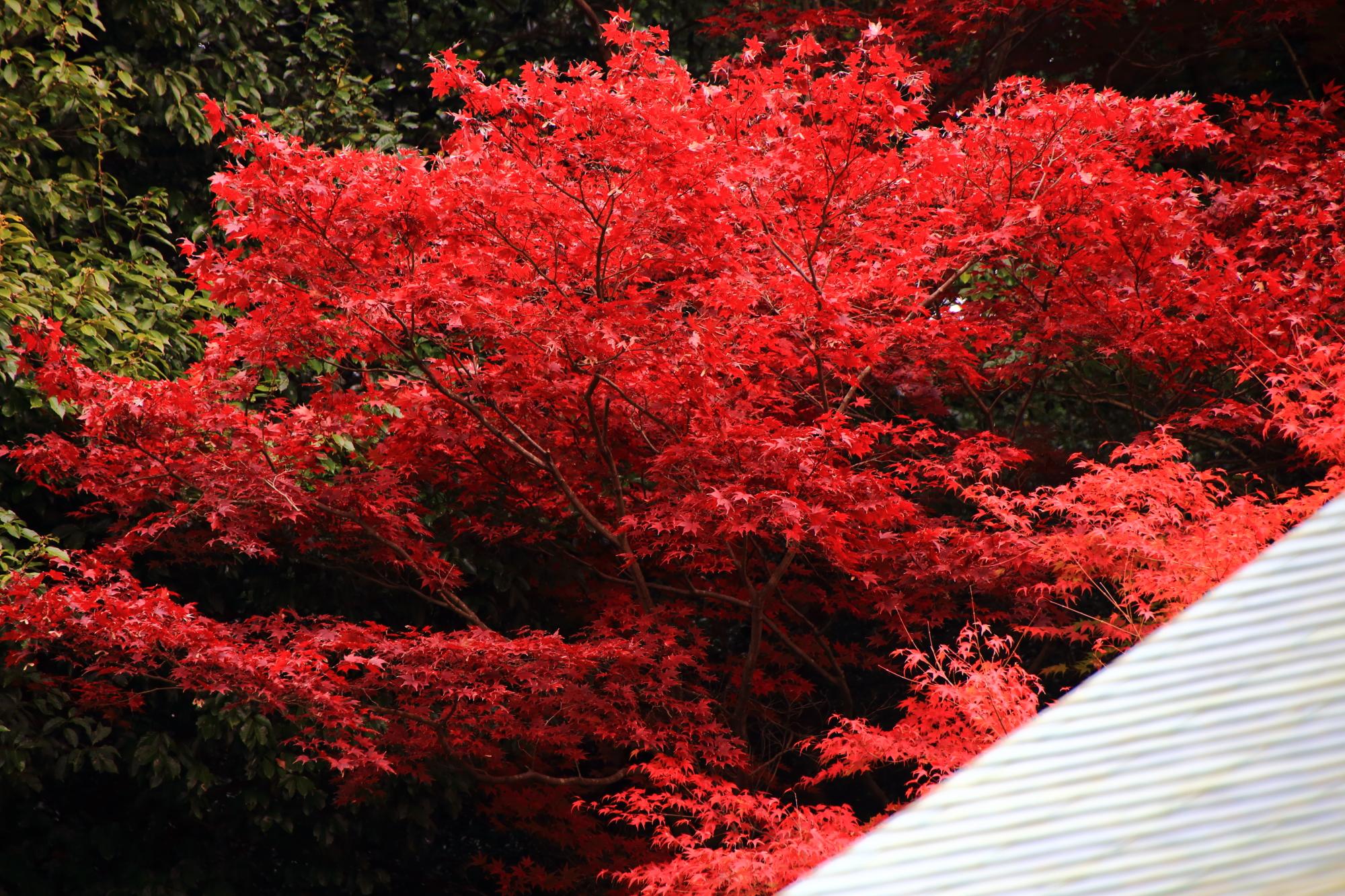 東福寺塔頭の龍吟庵の東庭「不離の庭」の見ごろの綺麗な紅葉