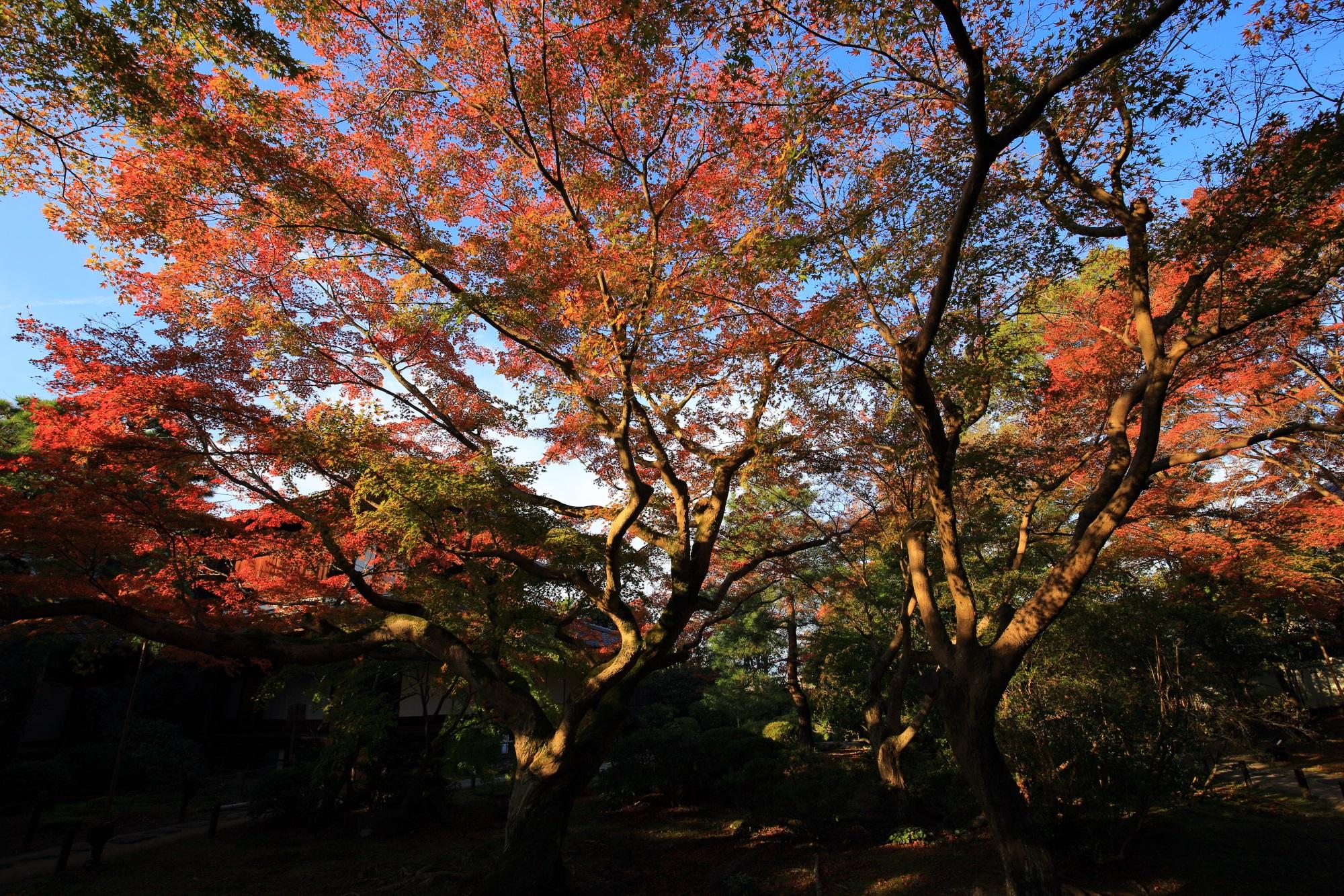 青蓮院の霧島の庭の見ごろの華やかな紅葉