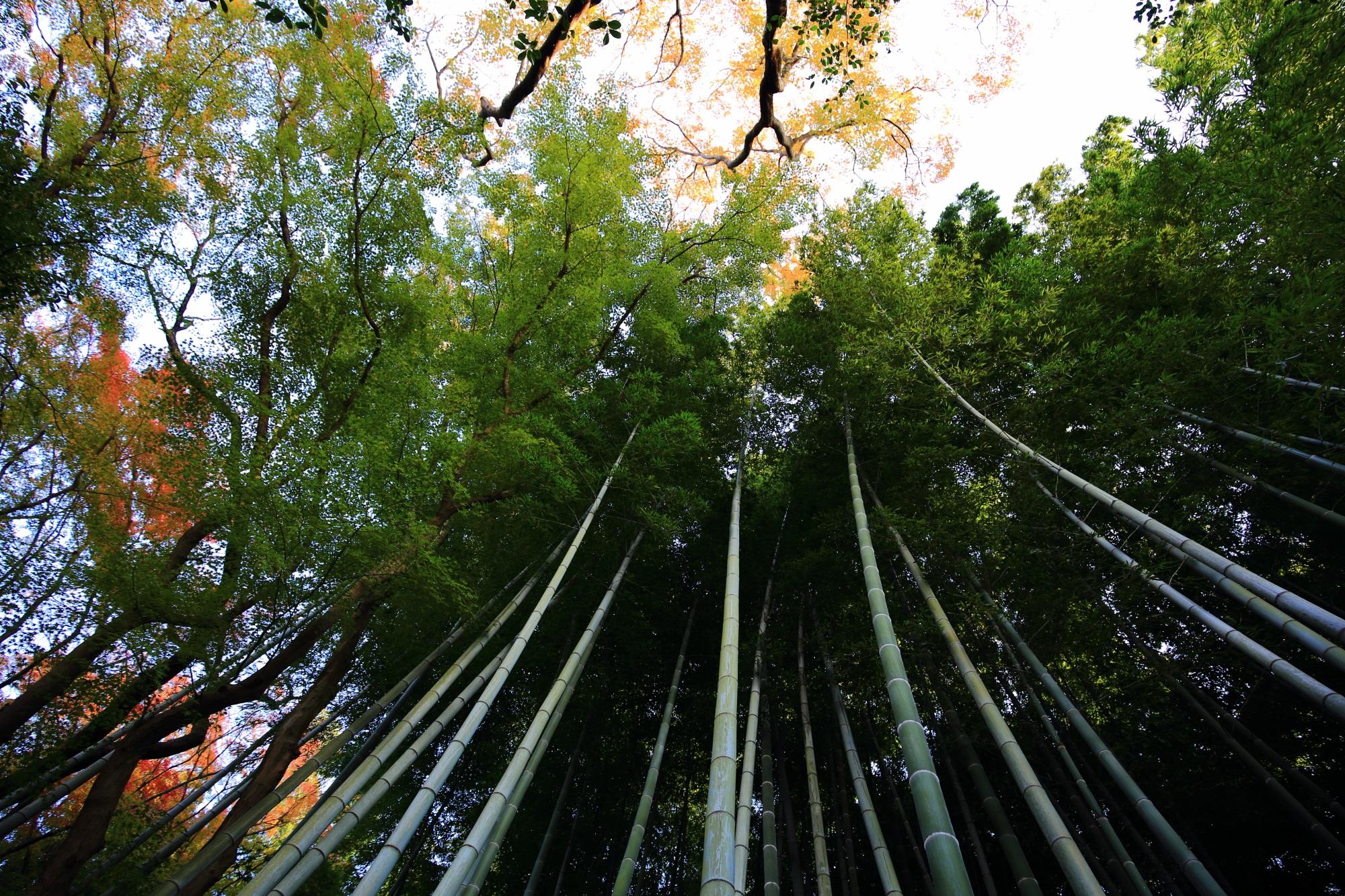 青蓮院の優美な竹林