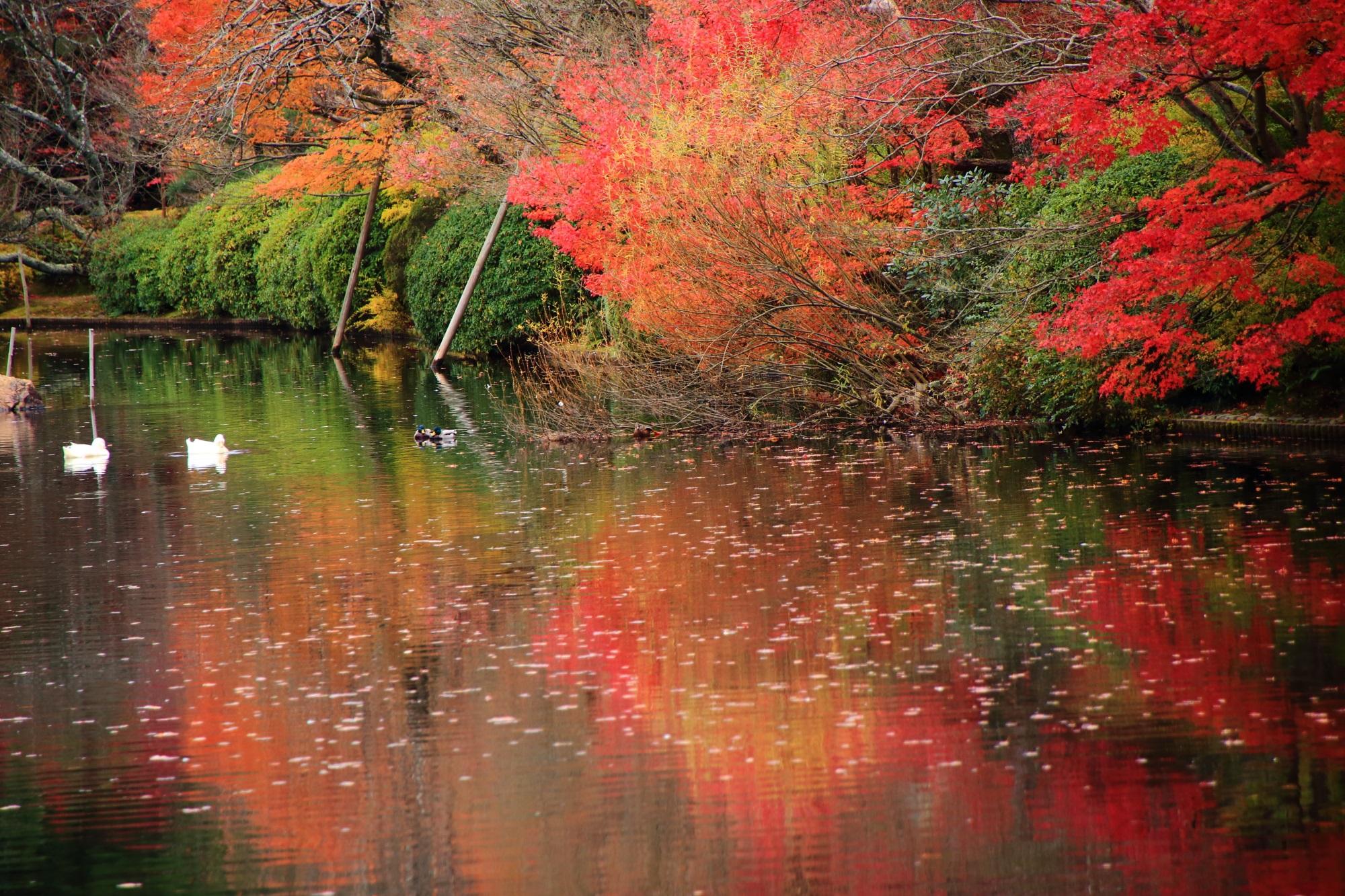 アヒルも大満足の龍安寺の紅葉