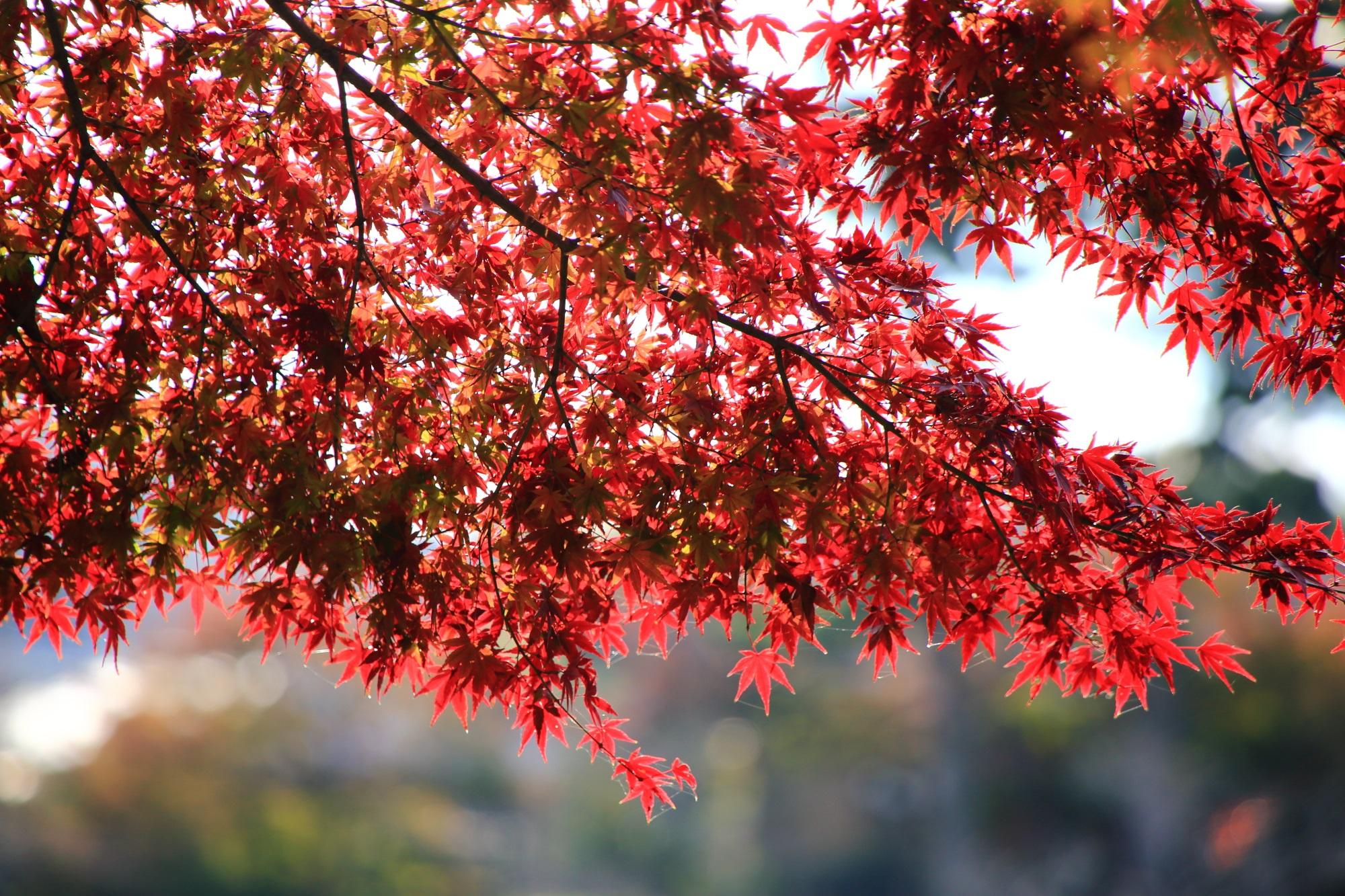 宇治川の見ごろの鮮やかな紅葉
