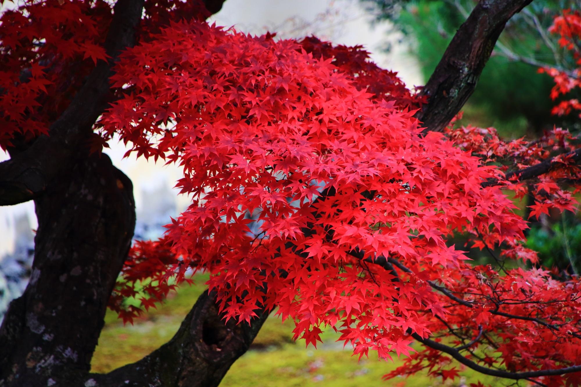 ろくおういん 紅葉 鮮やか 真っ赤 嵐山 秋