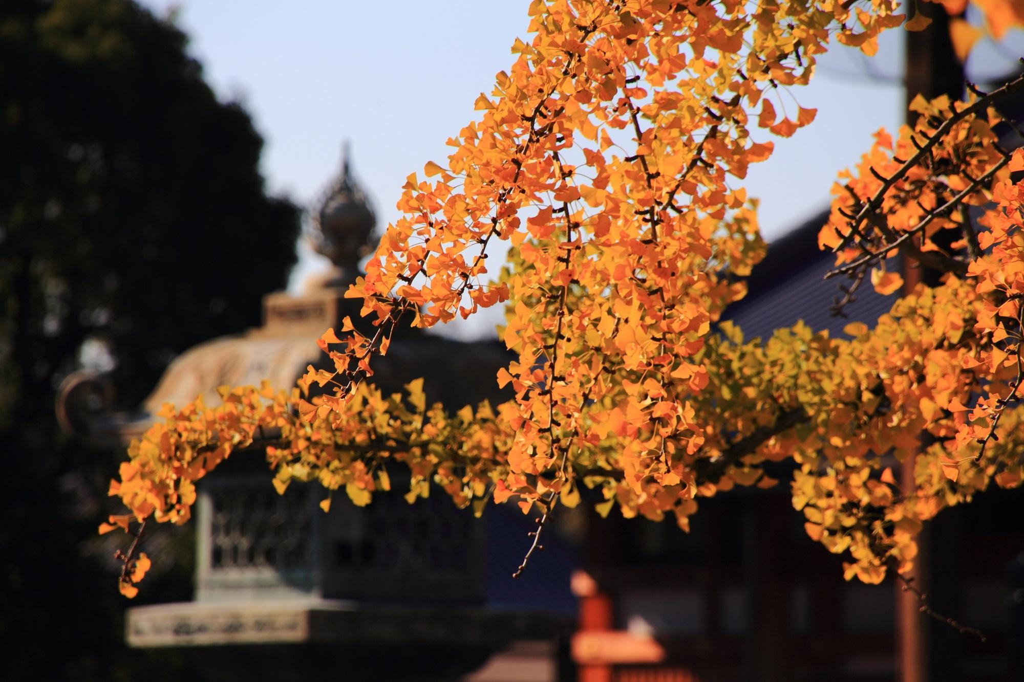 西本願寺の見事な黄金の大銀杏