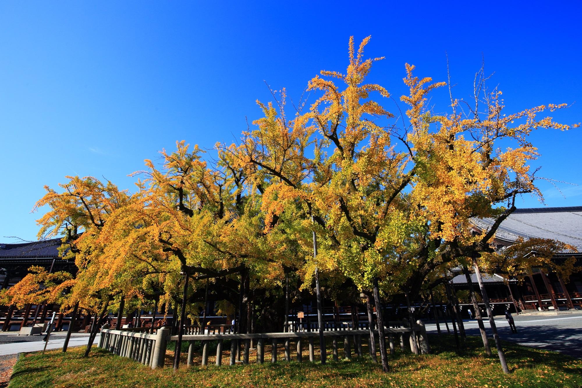 銀杏の名所の西本願寺の御影堂前の優美な大銀杏