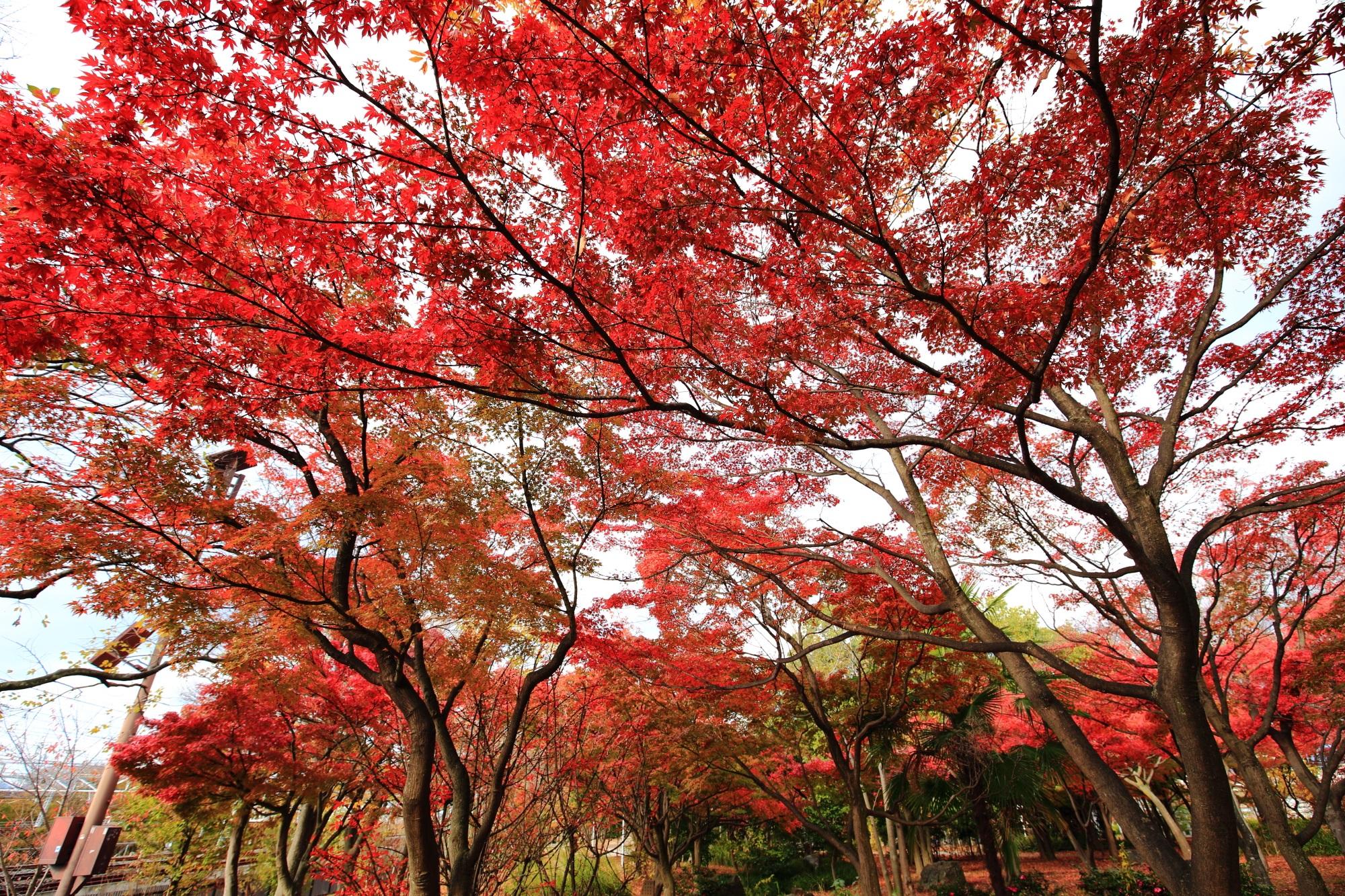 もみじの名所の梅小路公園(うめこうじこうえん)の美しい紅葉