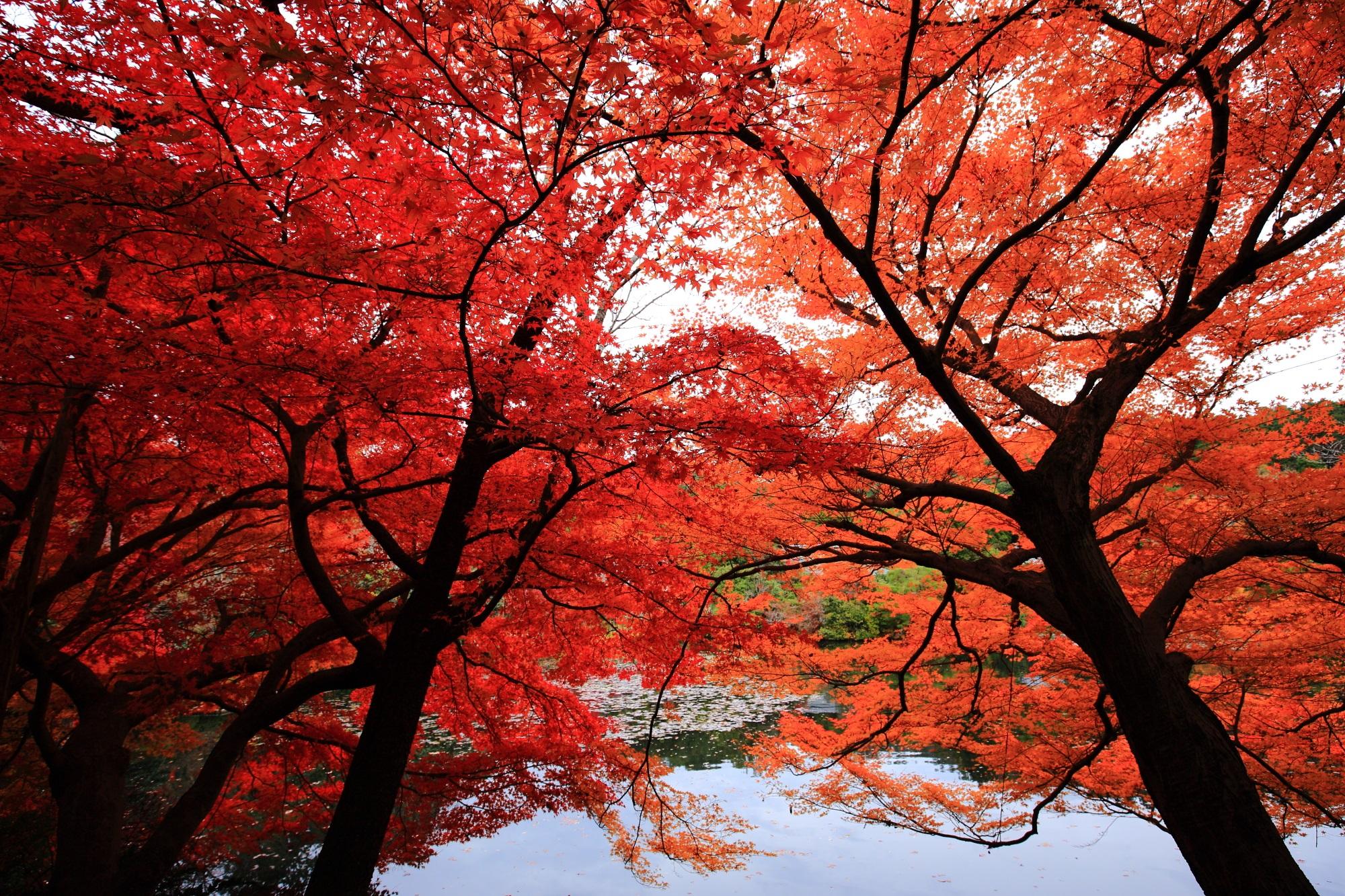 凄すぎる紅葉につつまれた龍安寺の鏡容池(きょうようち)