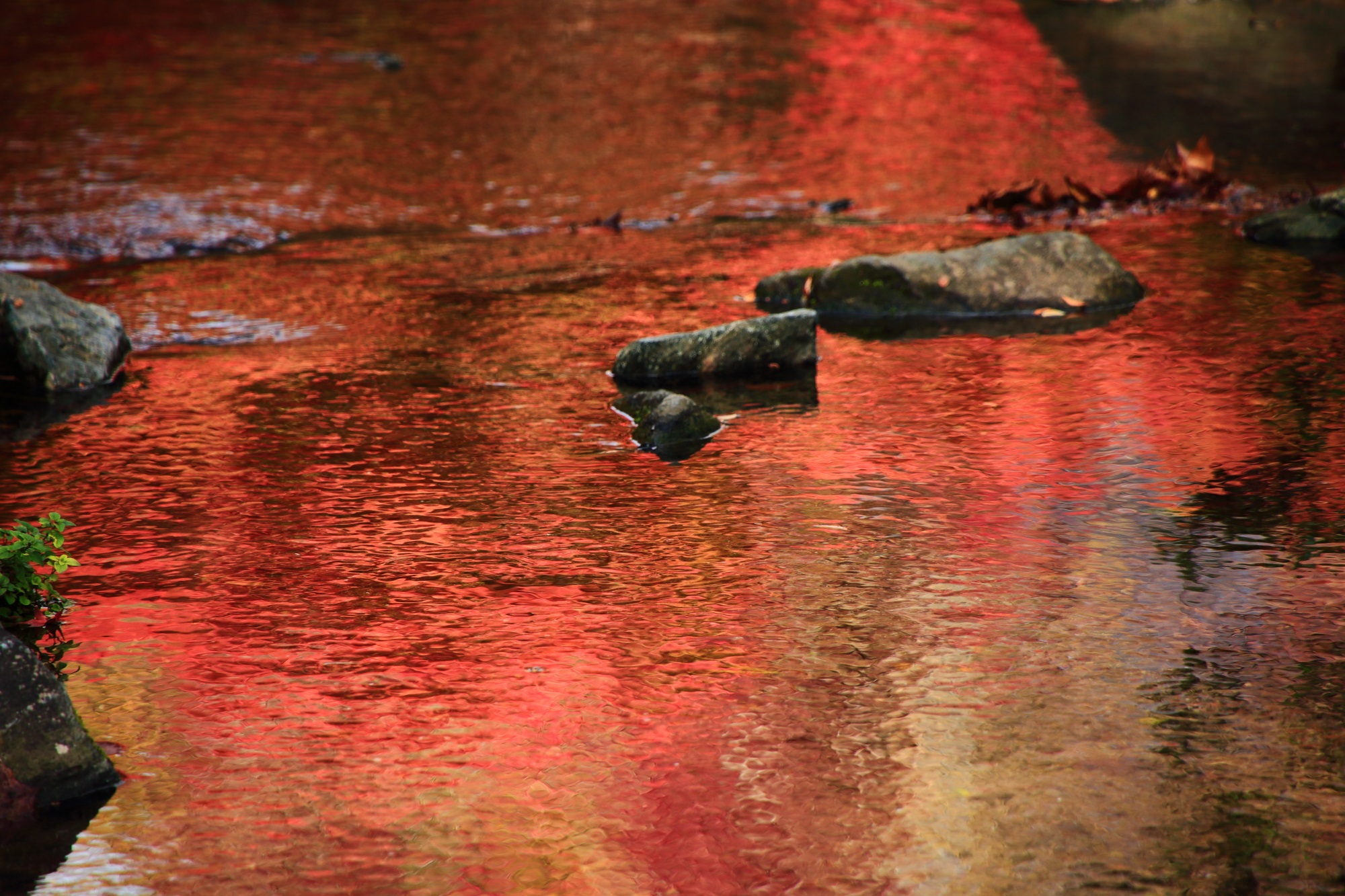 紅葉の穴場の梅小路公園の小川の美しい赤いもみじの水鏡