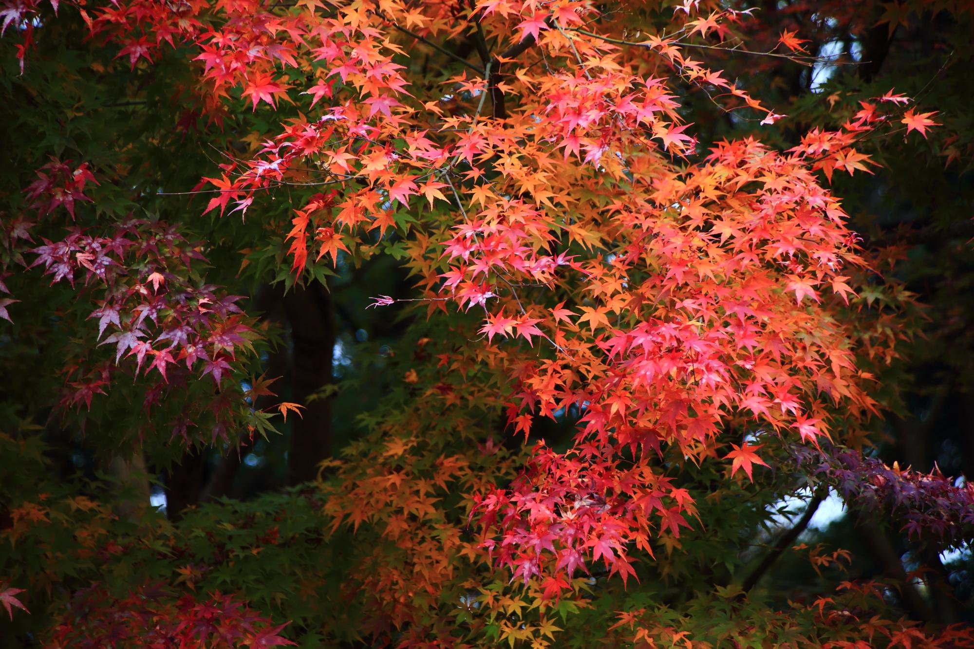 紅葉名所の龍吟庵の龍の庭の見ごろの鮮やかな赤いもみじ